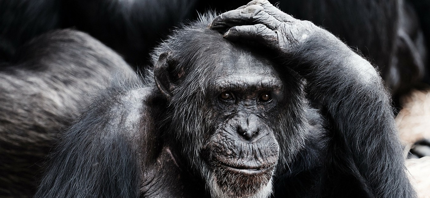 A pensive-looking chimpansee (presumably making some inference)