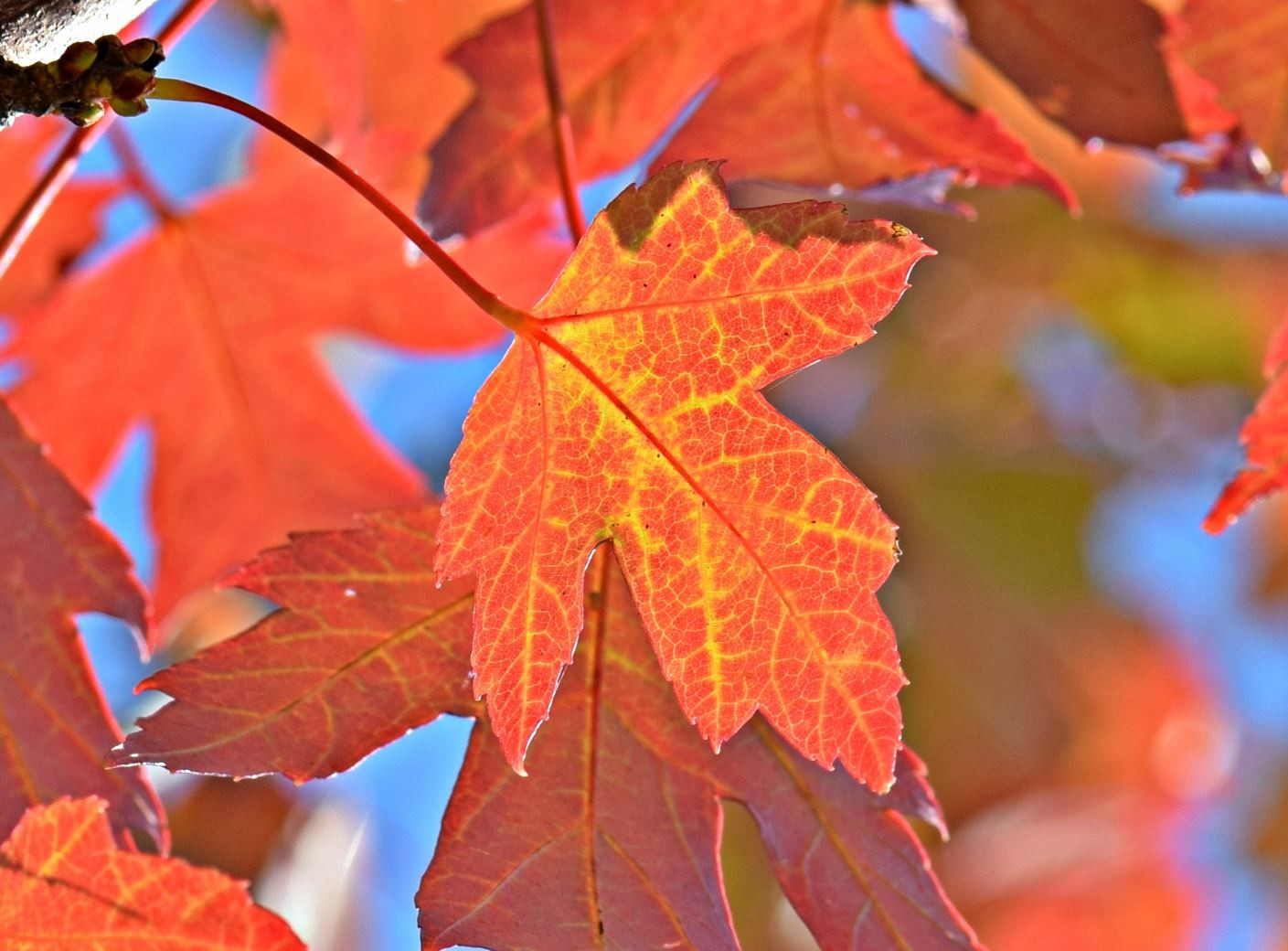 Maple leaves have changed to bright red and orange and glow in the sun. Glimpses of blue sky are visible in the background.