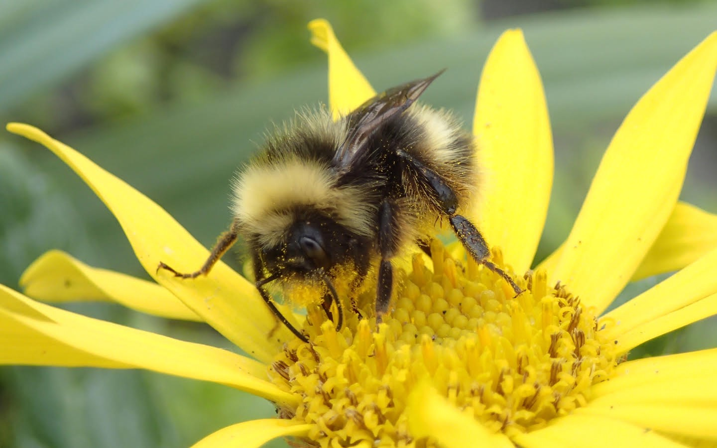 a bumble bee in alaska on a flower