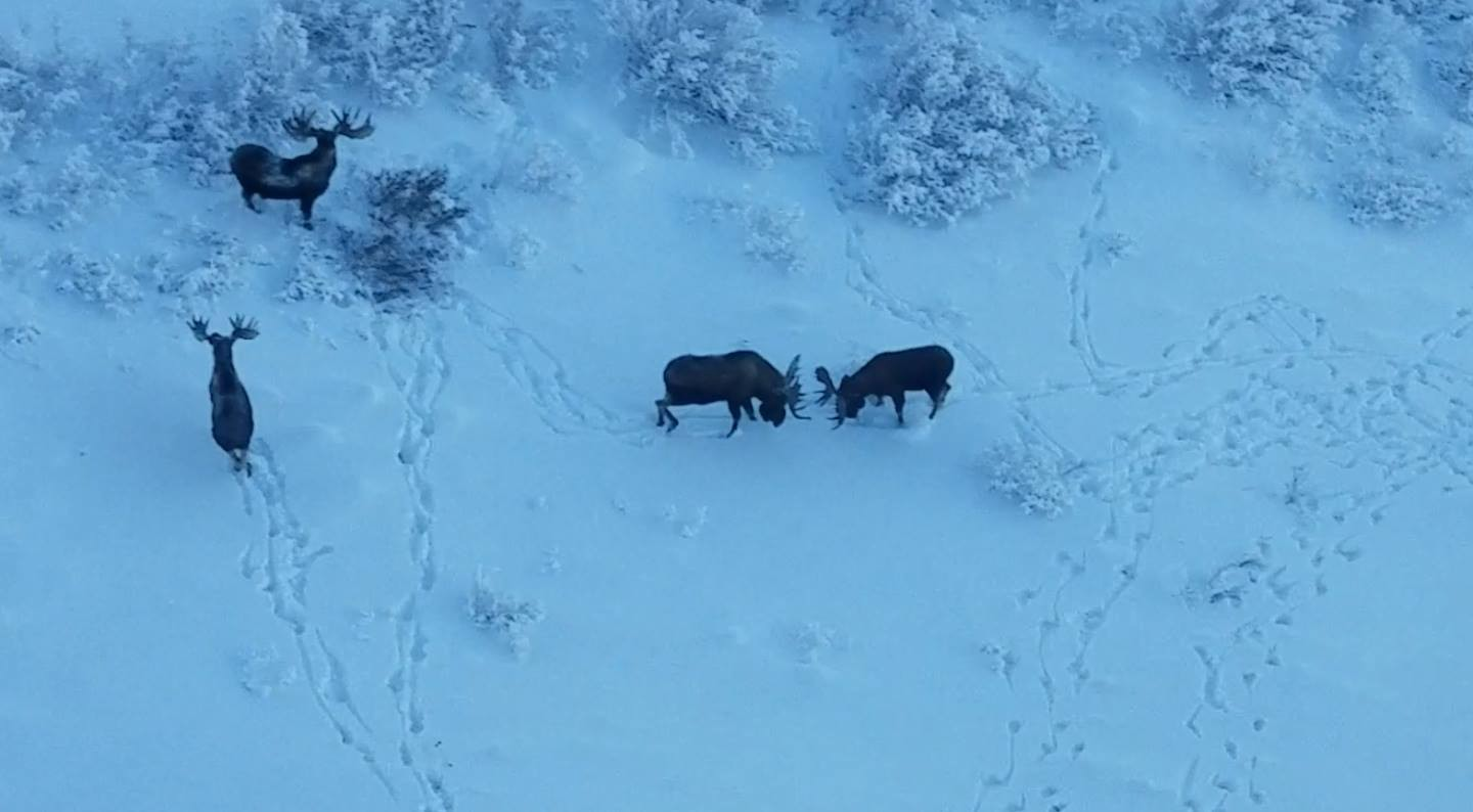 aerial of 4 bull moose in the snow with 2 bulls fighting