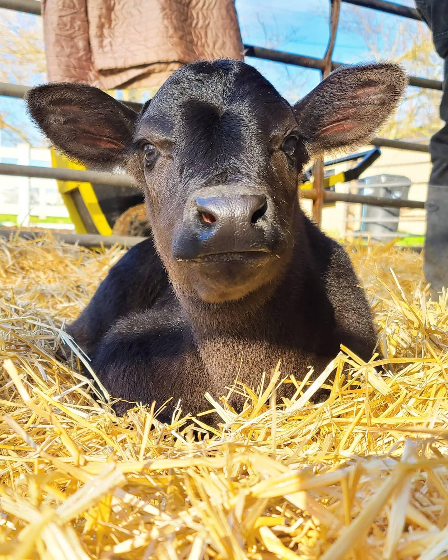 Photo of baby River, the daughter of Dolly the cow