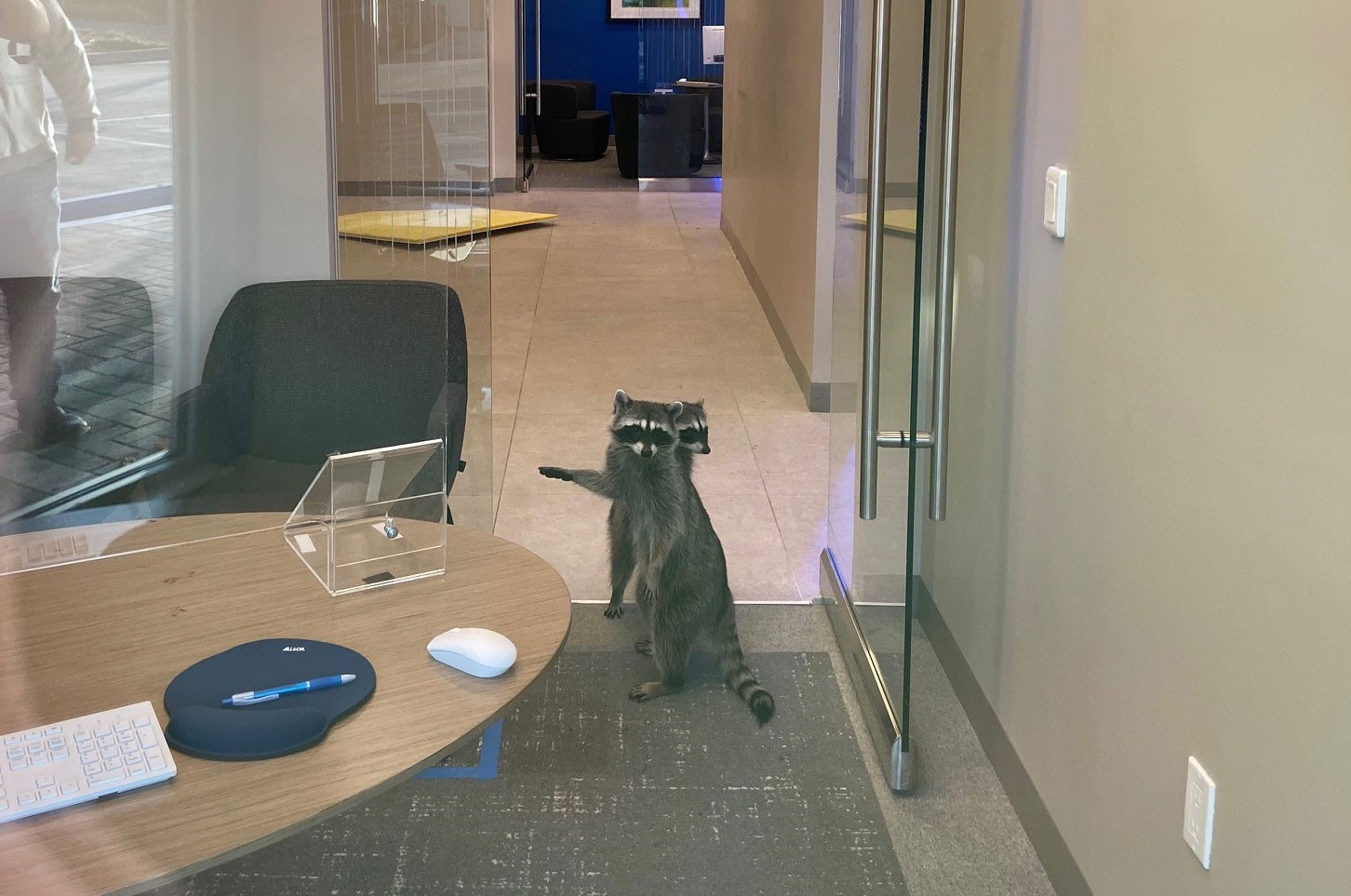 A photo of a typical bank office showing a grey carpet and office furniture, plus two raccoons looking slightly caught