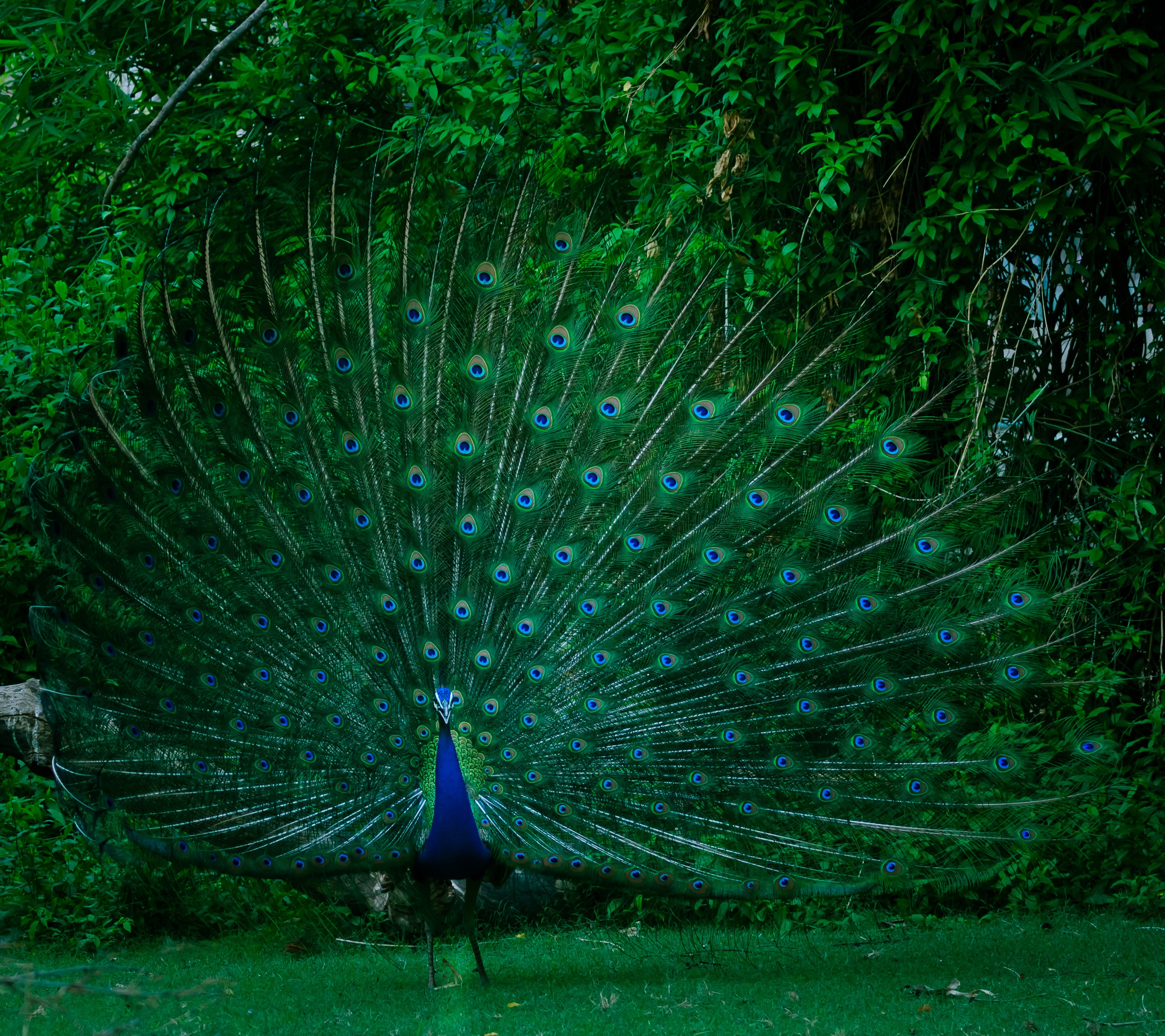 A beautiful peacock with it's tail feathers sprayed out.