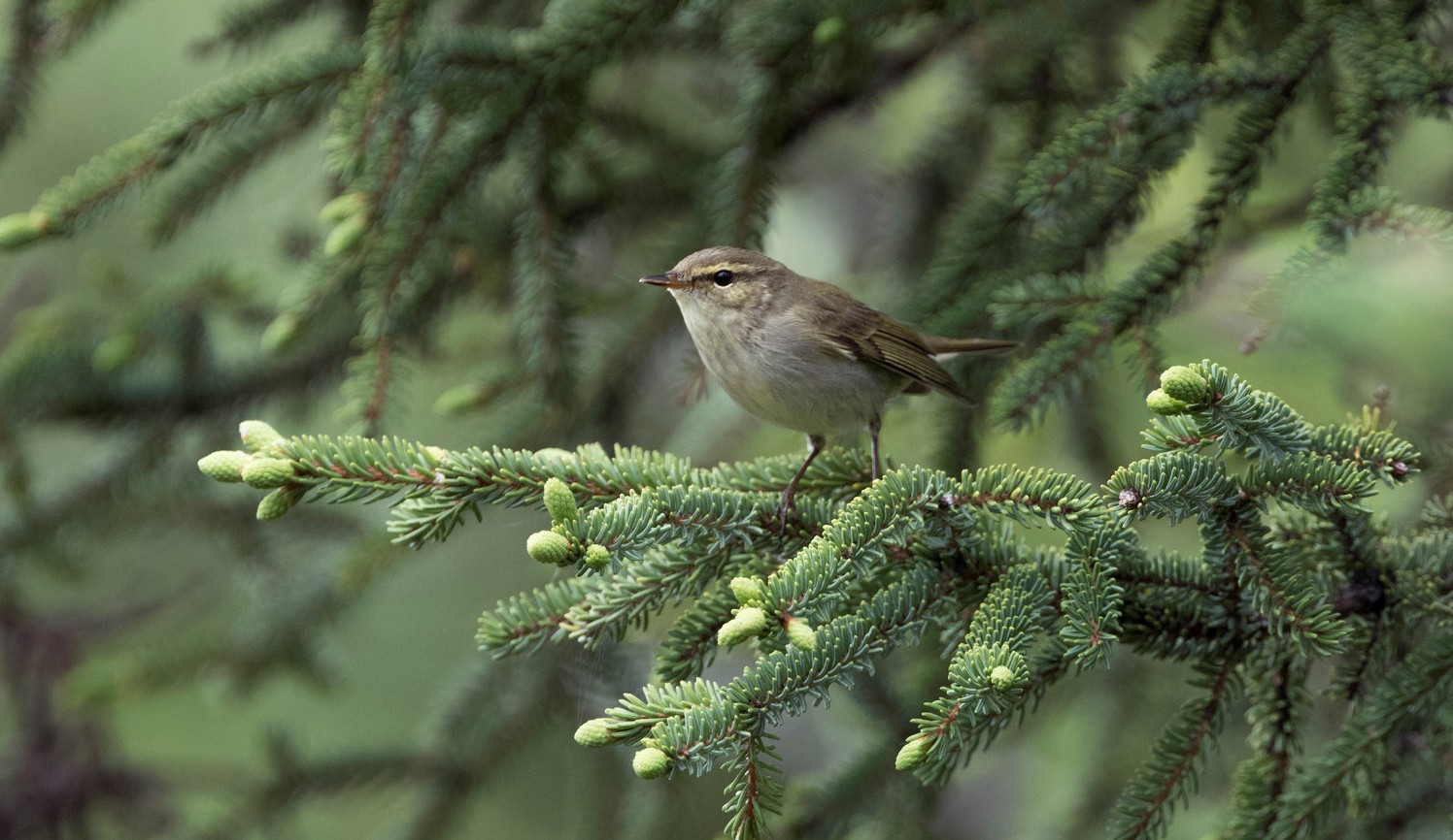 brown arctic warbler in a spruce tree in alaska