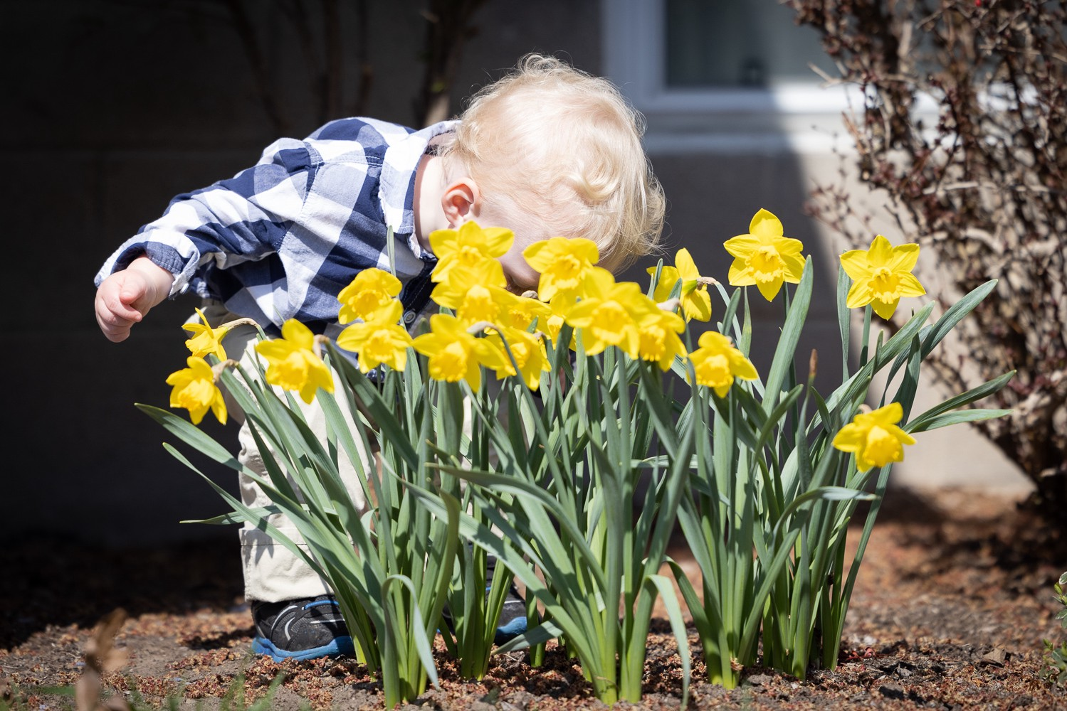 small child bent over smelling daffodils