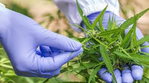 An image of a marijuana plant and a researcher's gloves handling it.