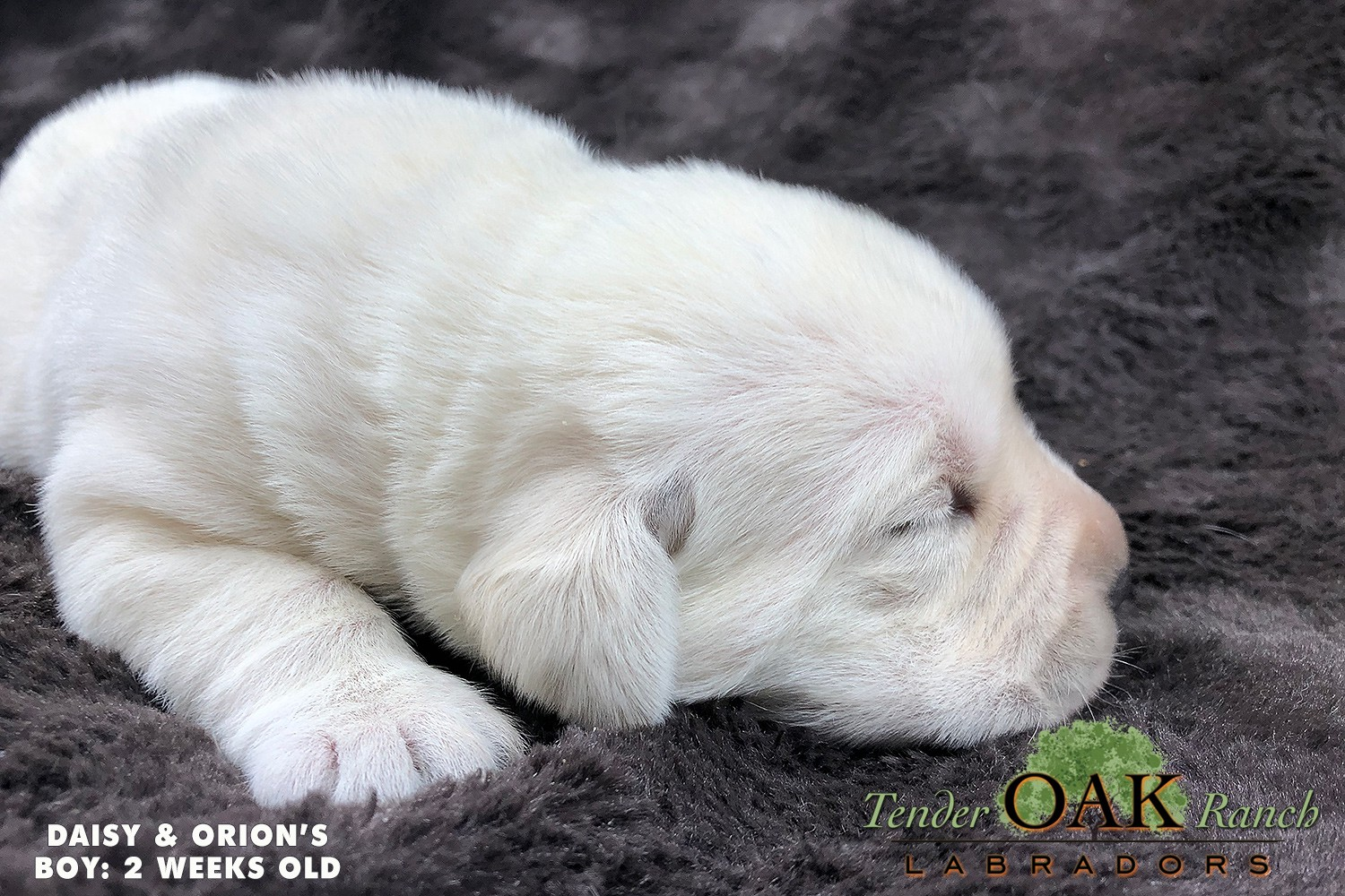 Cute Yellow Lab Puppy For Sale If You Re Are Also Looking For A Yellow By Tender Oak Labradors Medium
