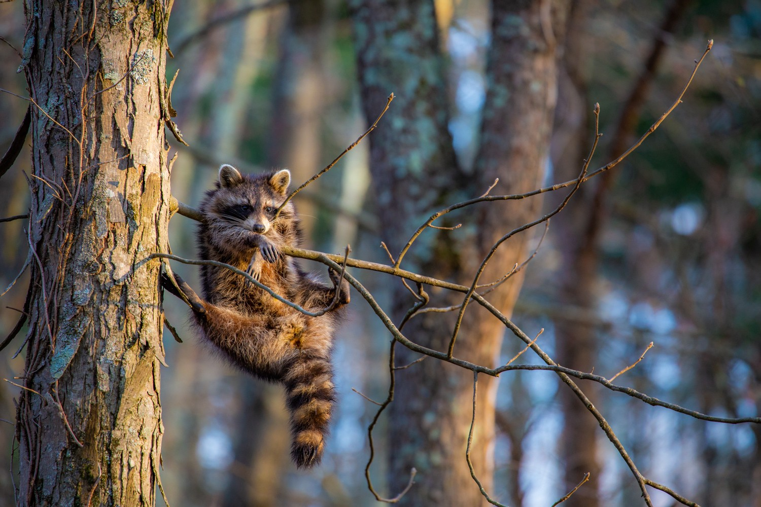 A young raccoon hanging in an awkward way from a very small tree branch