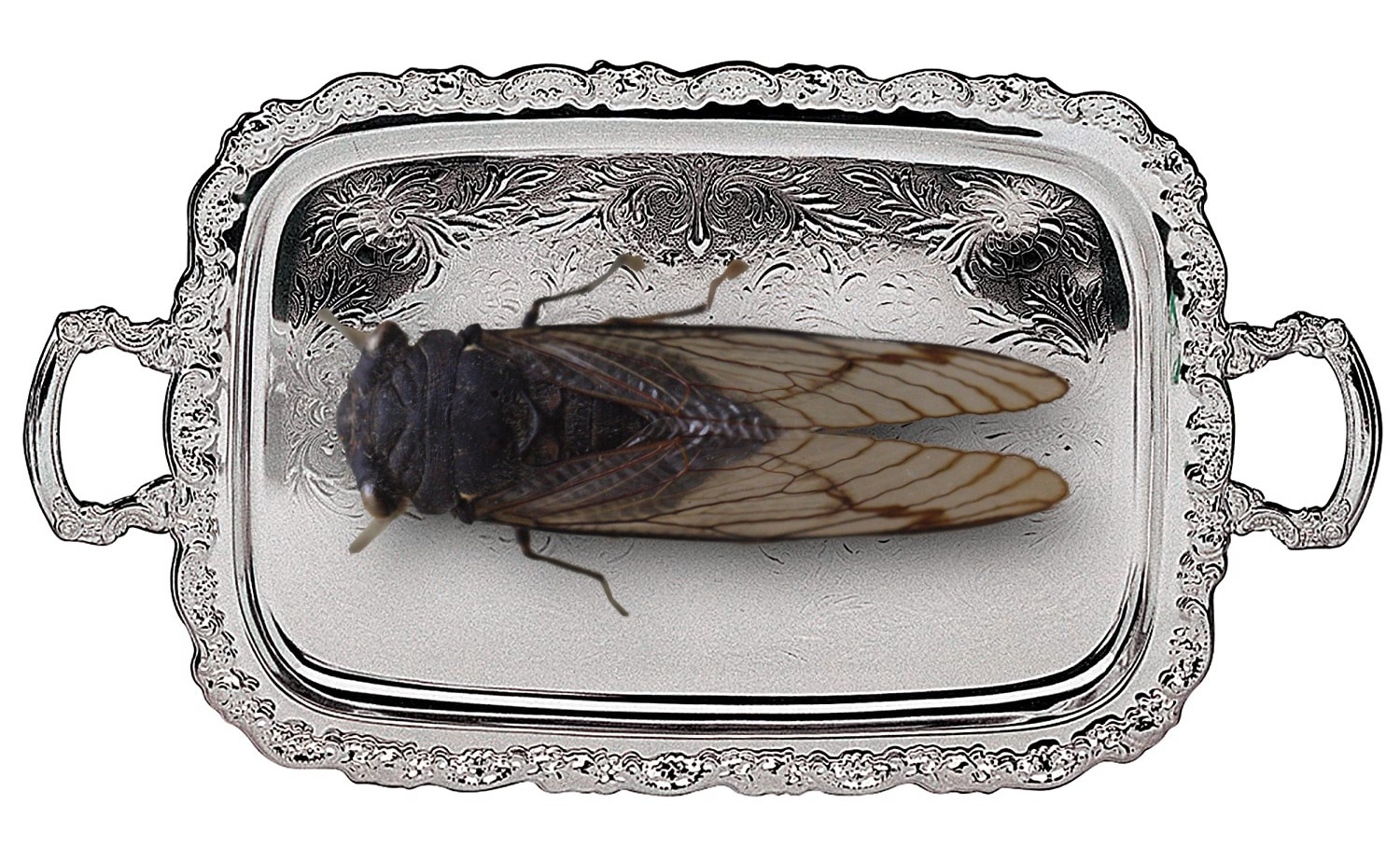 A giant cicada on a silver serving-tray. Image: Toby Hudson (modified) https://commons.wikimedia.org/wiki/File:AustralianMuseum_cicada_specimen_11.JPG CC BY-SA: https://creativecommons.org/licenses/by-sa/3.0/au/deed.en