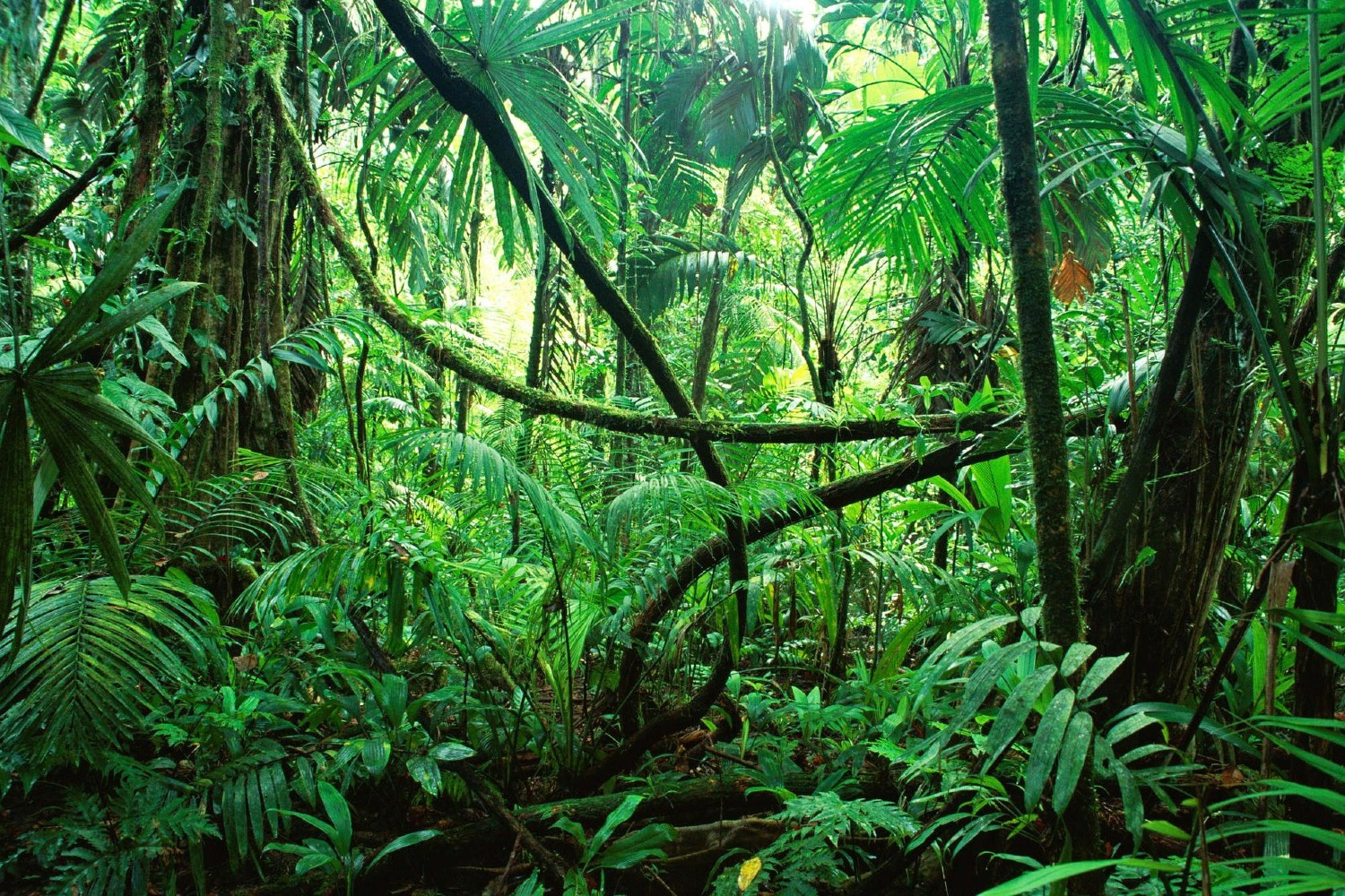 A jungle dense with green ferns, palms and foliage.
