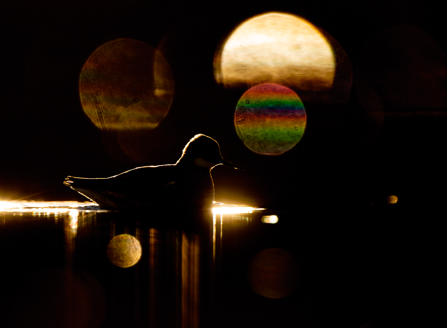 A Red-Necked Phalarope illuminated on its edges on dark water, with rainbow reflections from the camera lens.