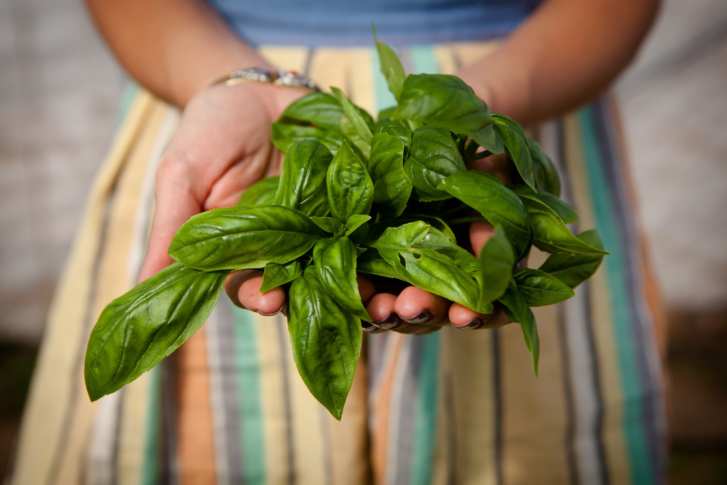 A farmer holds basil leaves