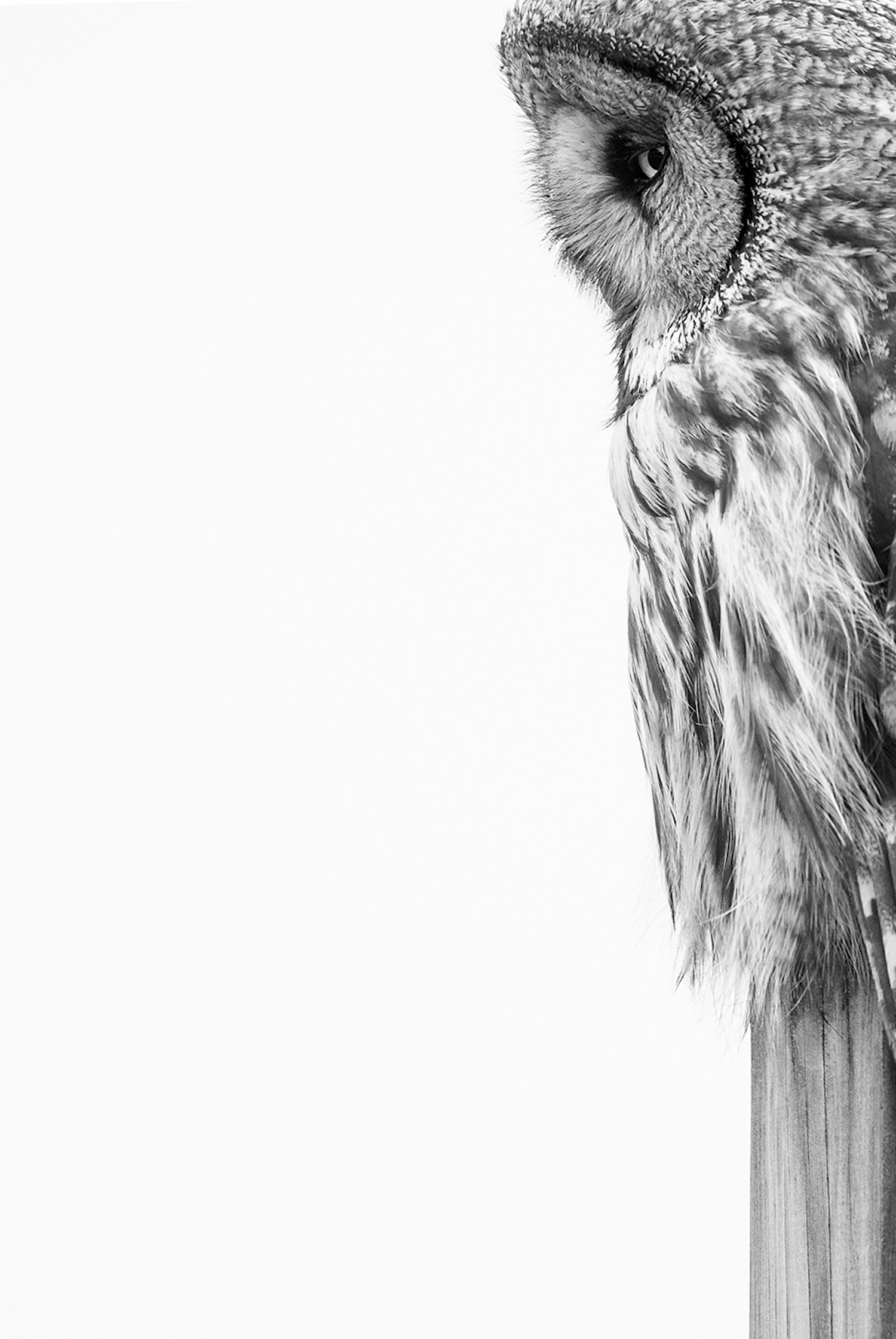 Black-and-white photo of a Great Grey Owl in profile.