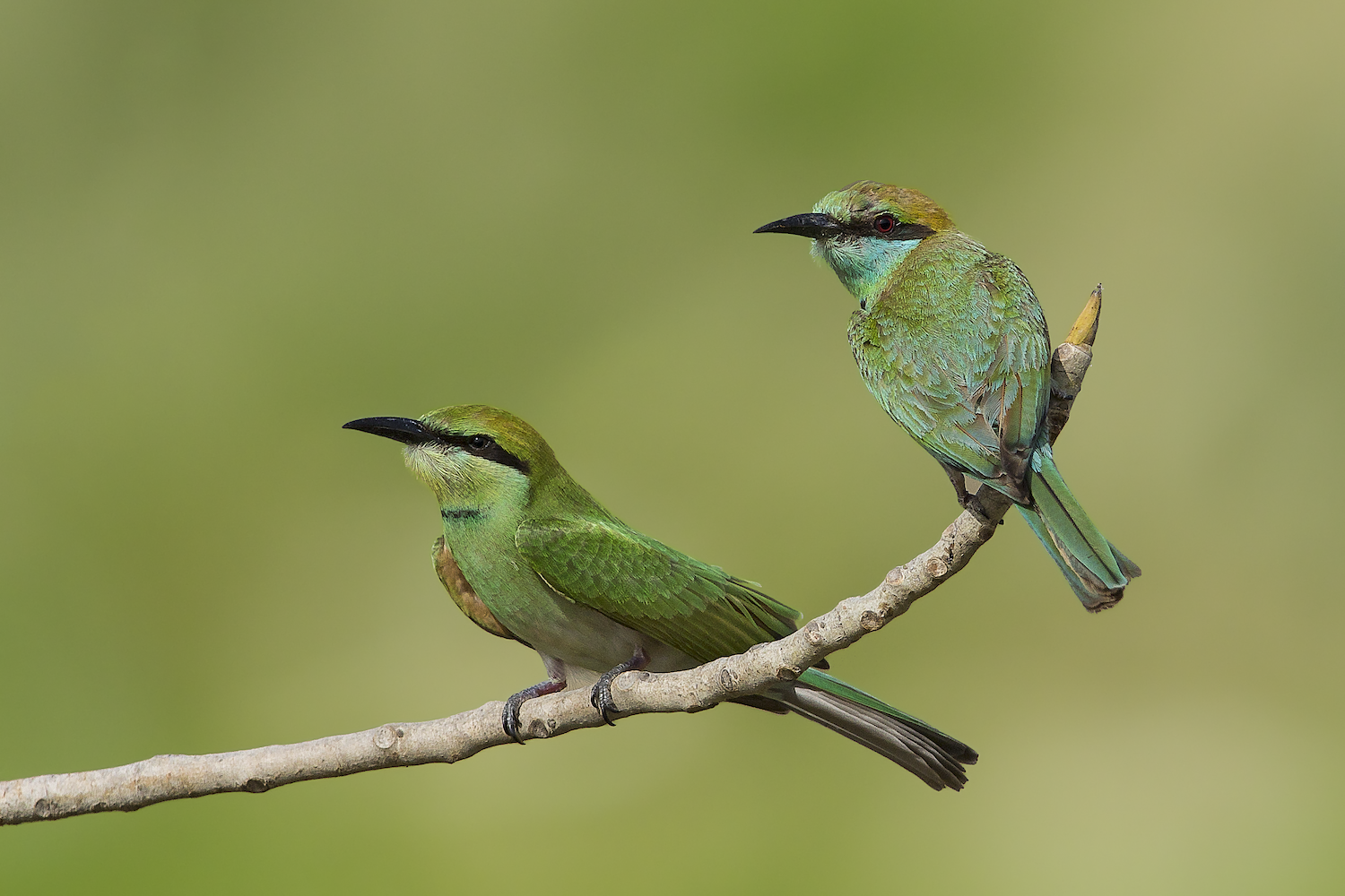 Shallow-focus shot of two Asian Green Bee-Eaters perched on a thin, curving branch.