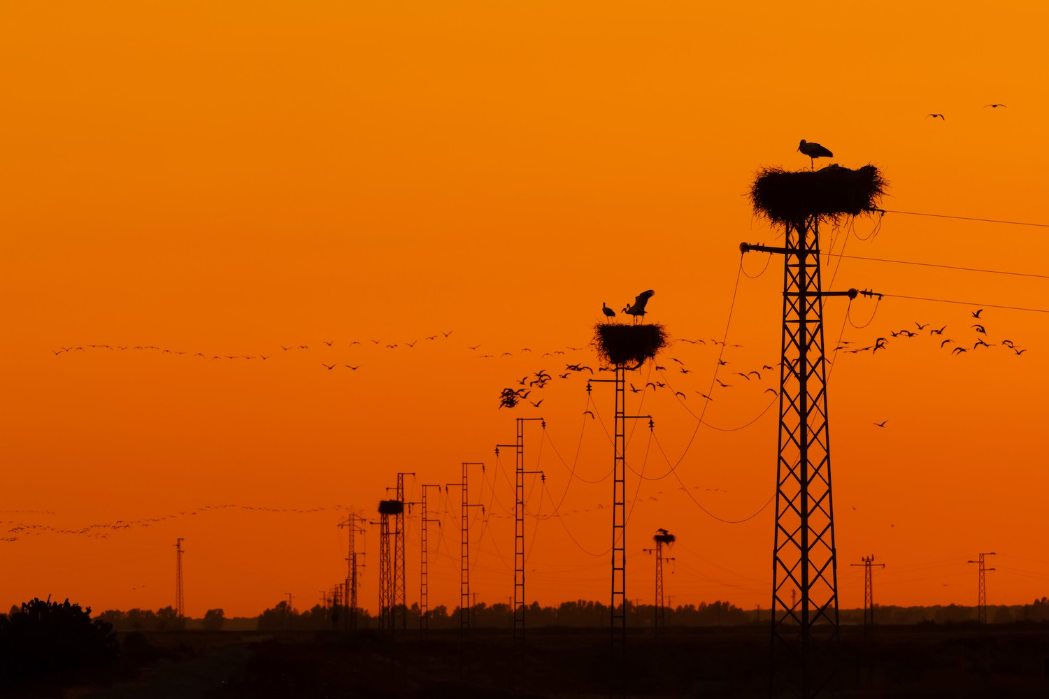 A row of power lines receding into the distance; 3 of them have large nests on top of them. Many birds fly in the orange sky.