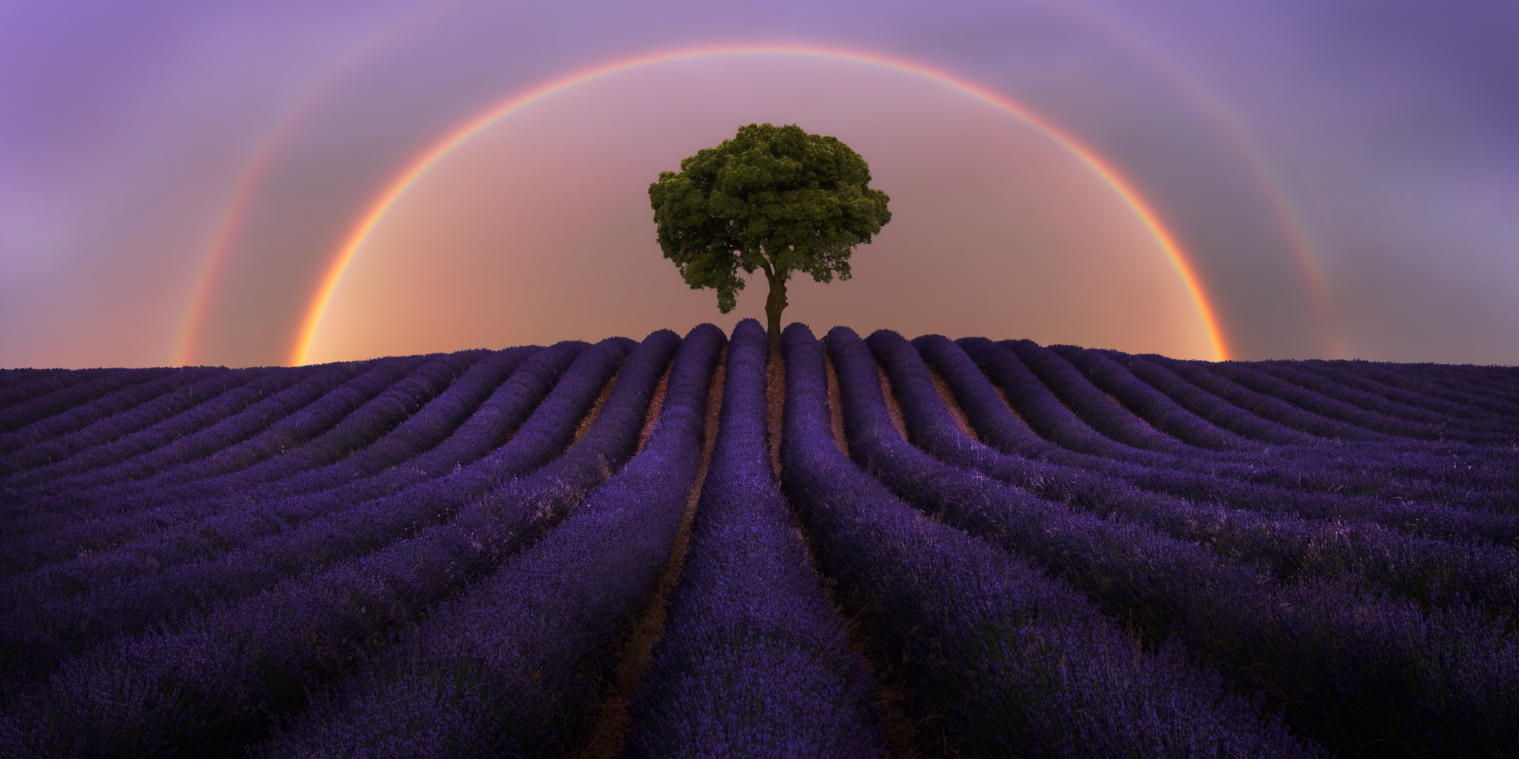 A fine art photograph of two rainbows rising above a single tree in a field with rows of purple plants