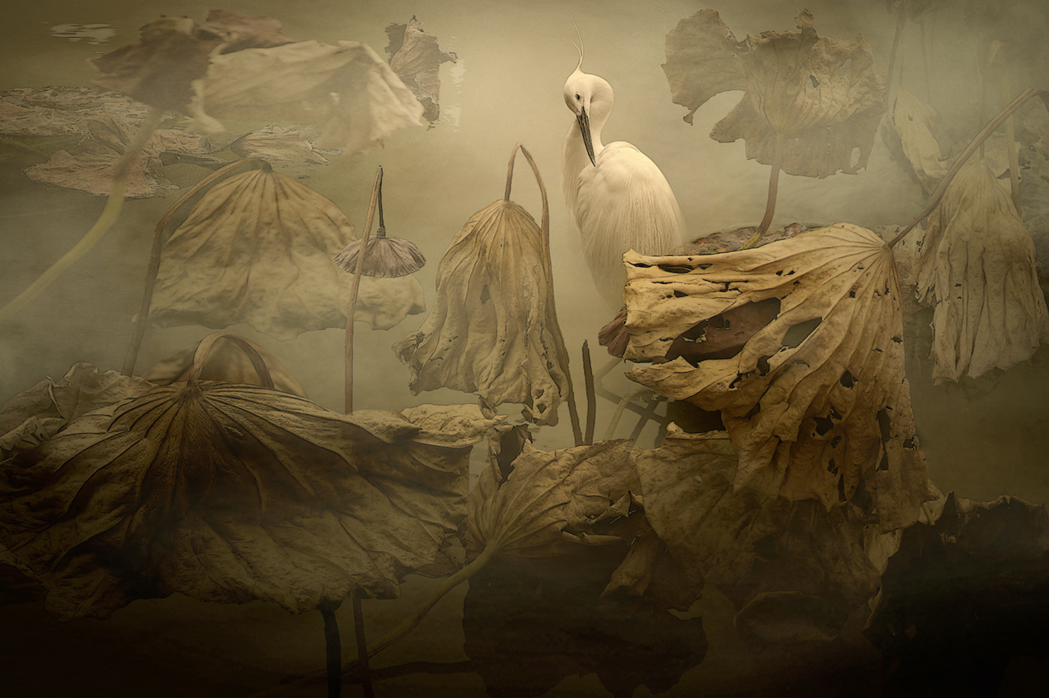 An egret standing among lotus leaves in different stages of life.