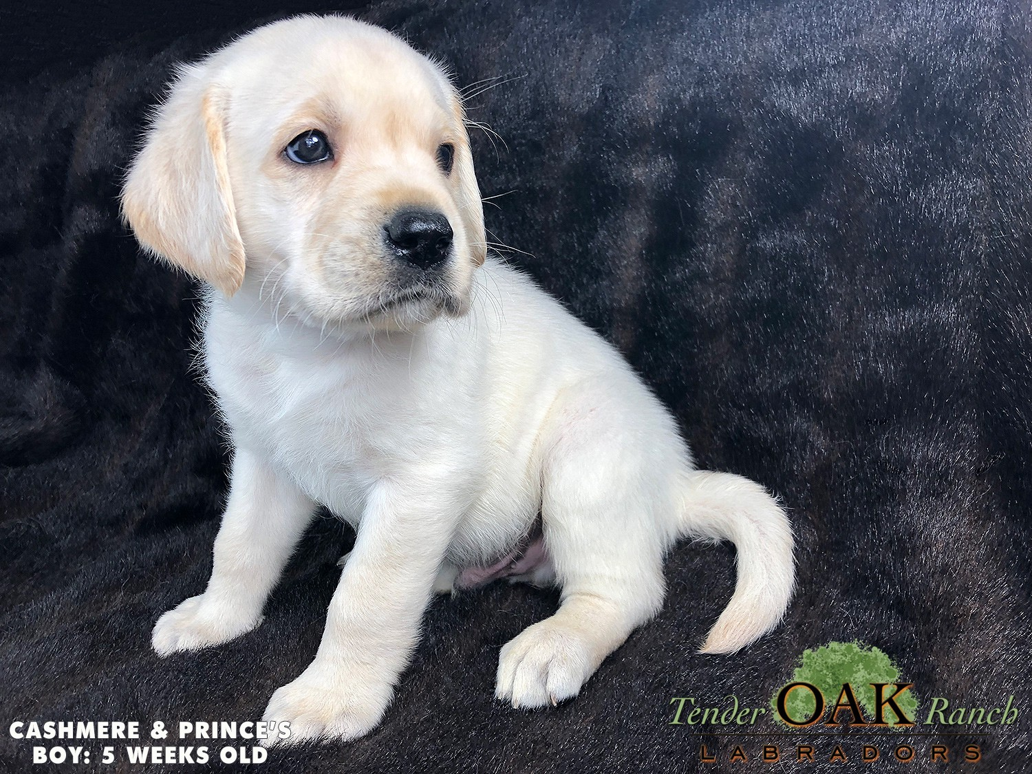 White English Lab Puppies For Sale By Tender Oak Labradors Medium