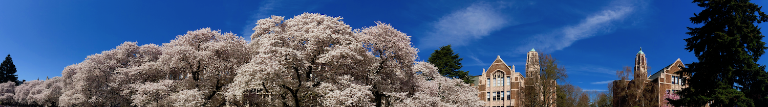 Cherry trees in bloom at the University of Washington