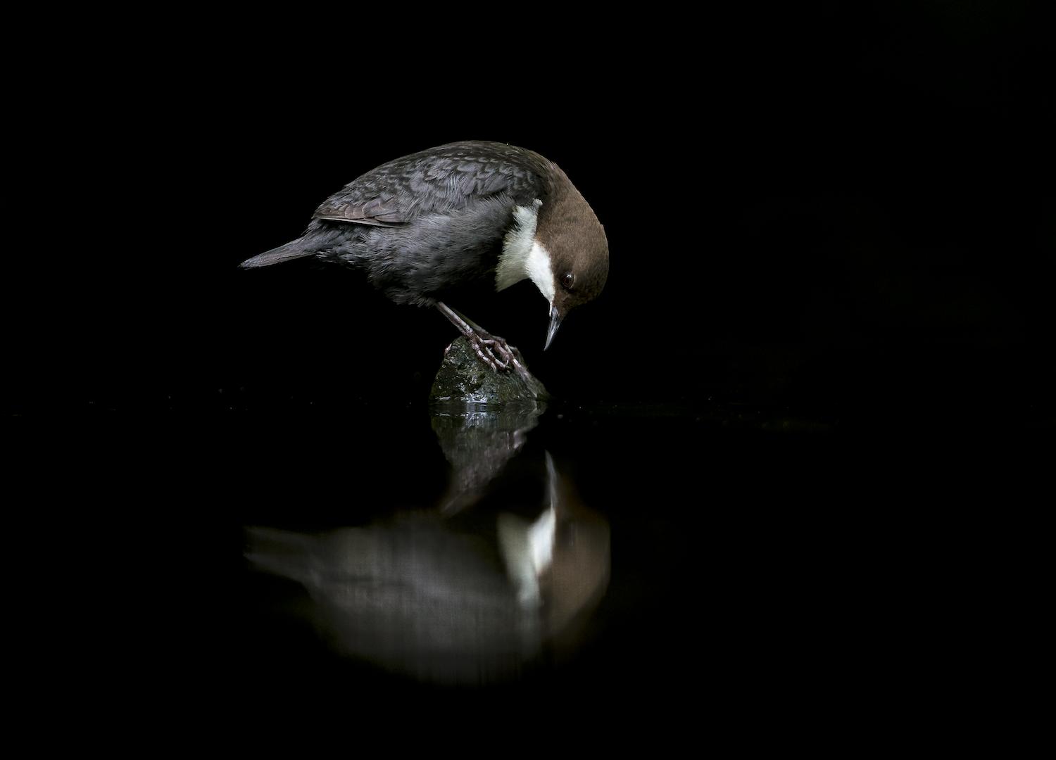A White-Throated Dipper looking at its reflection in perfectly still black water.