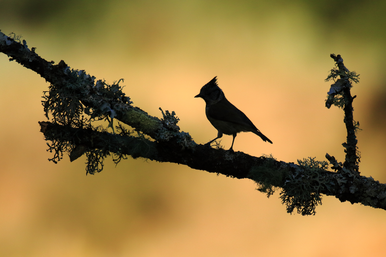 Backlit shot of a Crested Tit perching on a branch with moss on it.