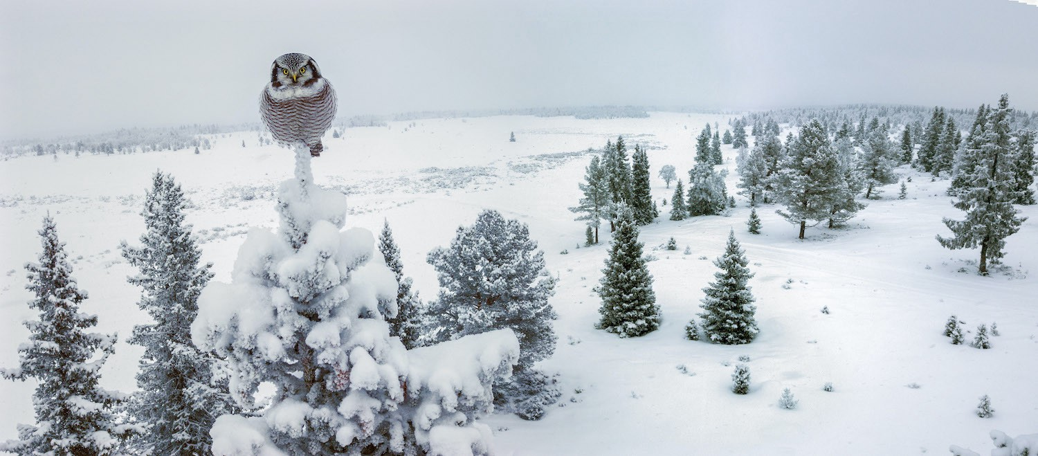 A round Northern Hawk-Owl perched on top of a snow-covered evergreen tree in a wintery landscape.