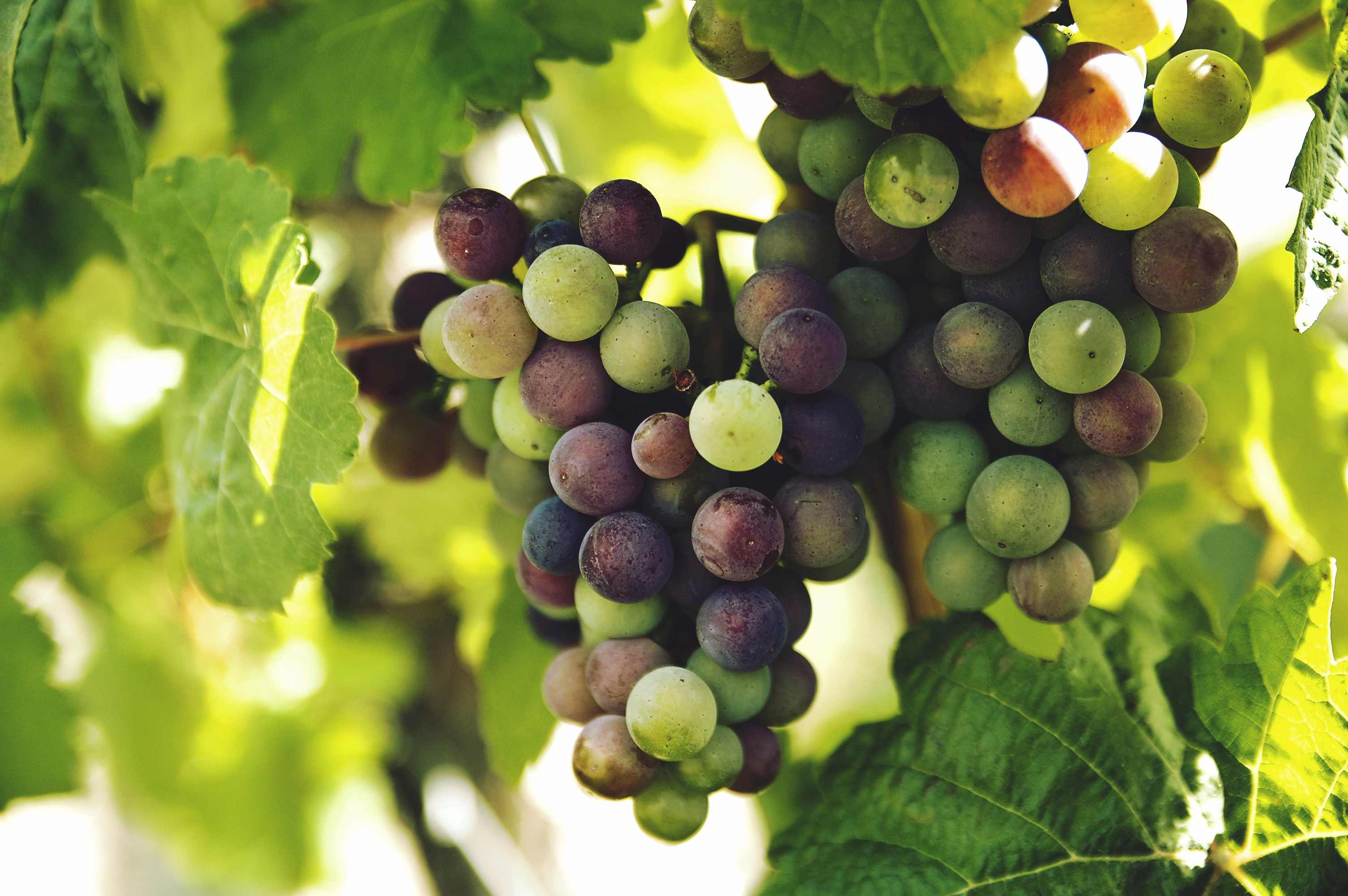 A cluster of grapes at véraison with some green berries and some red berries.