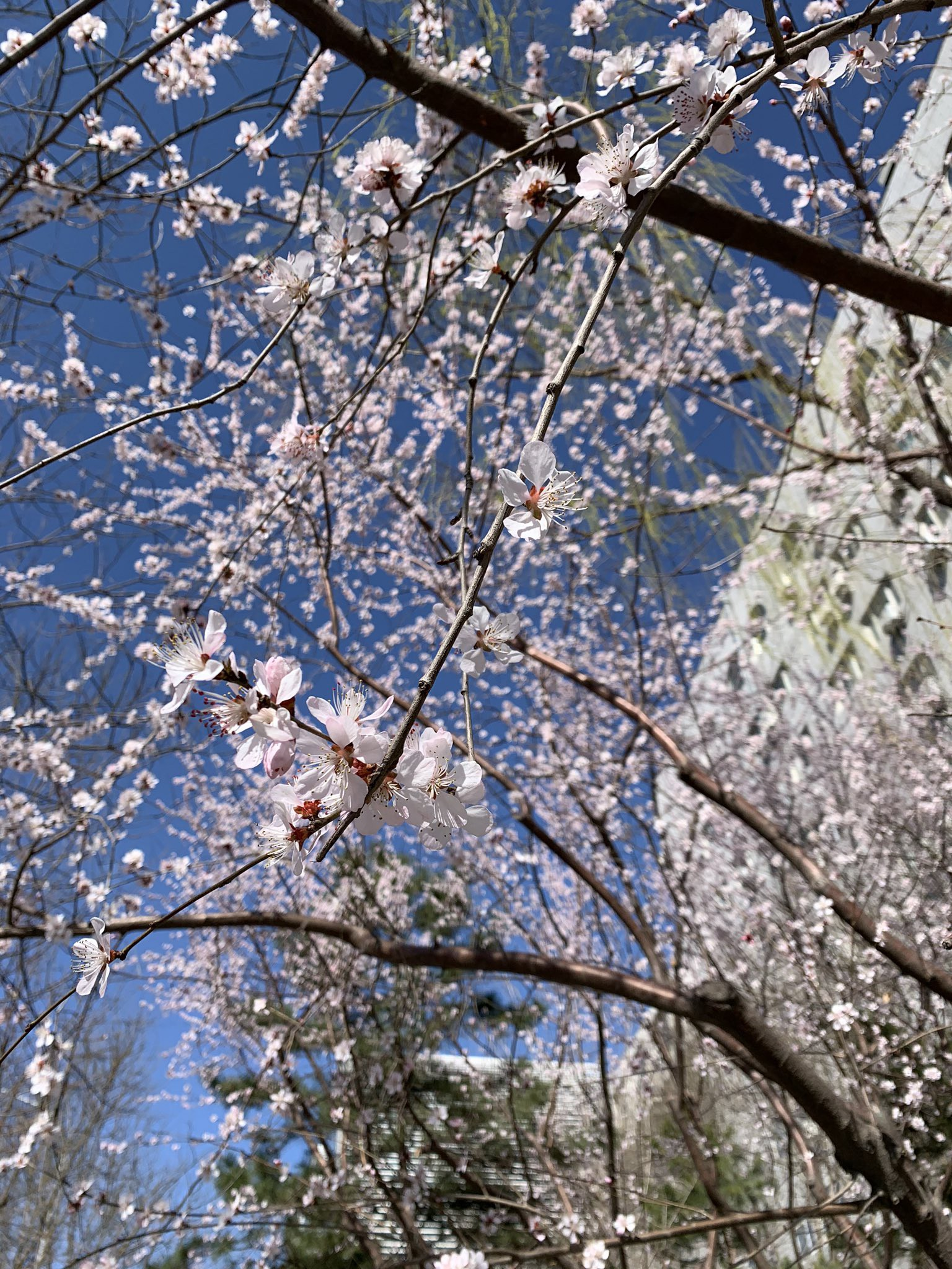 A close-up photo of cherry blossoms.
