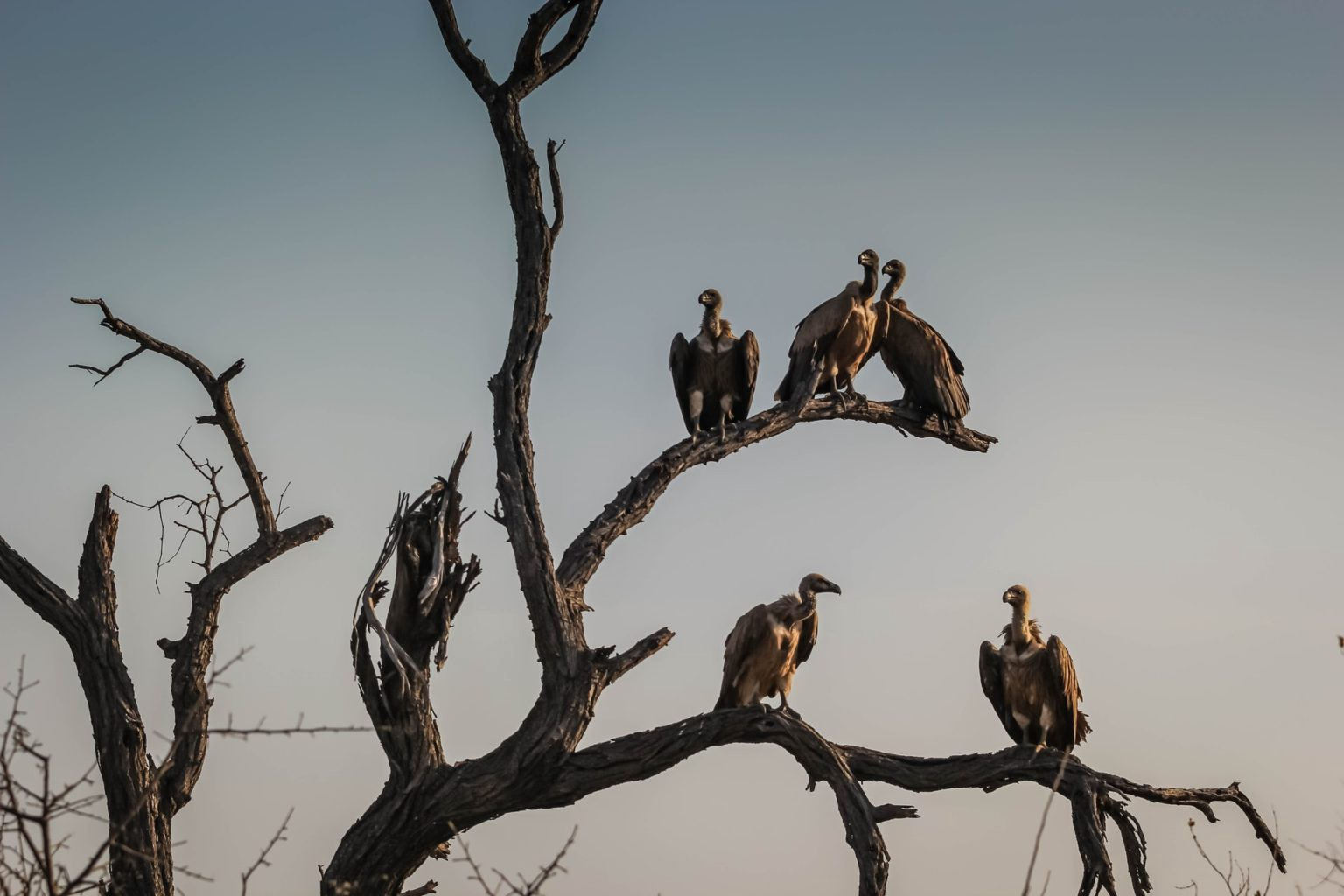 Vultures perched on a tree