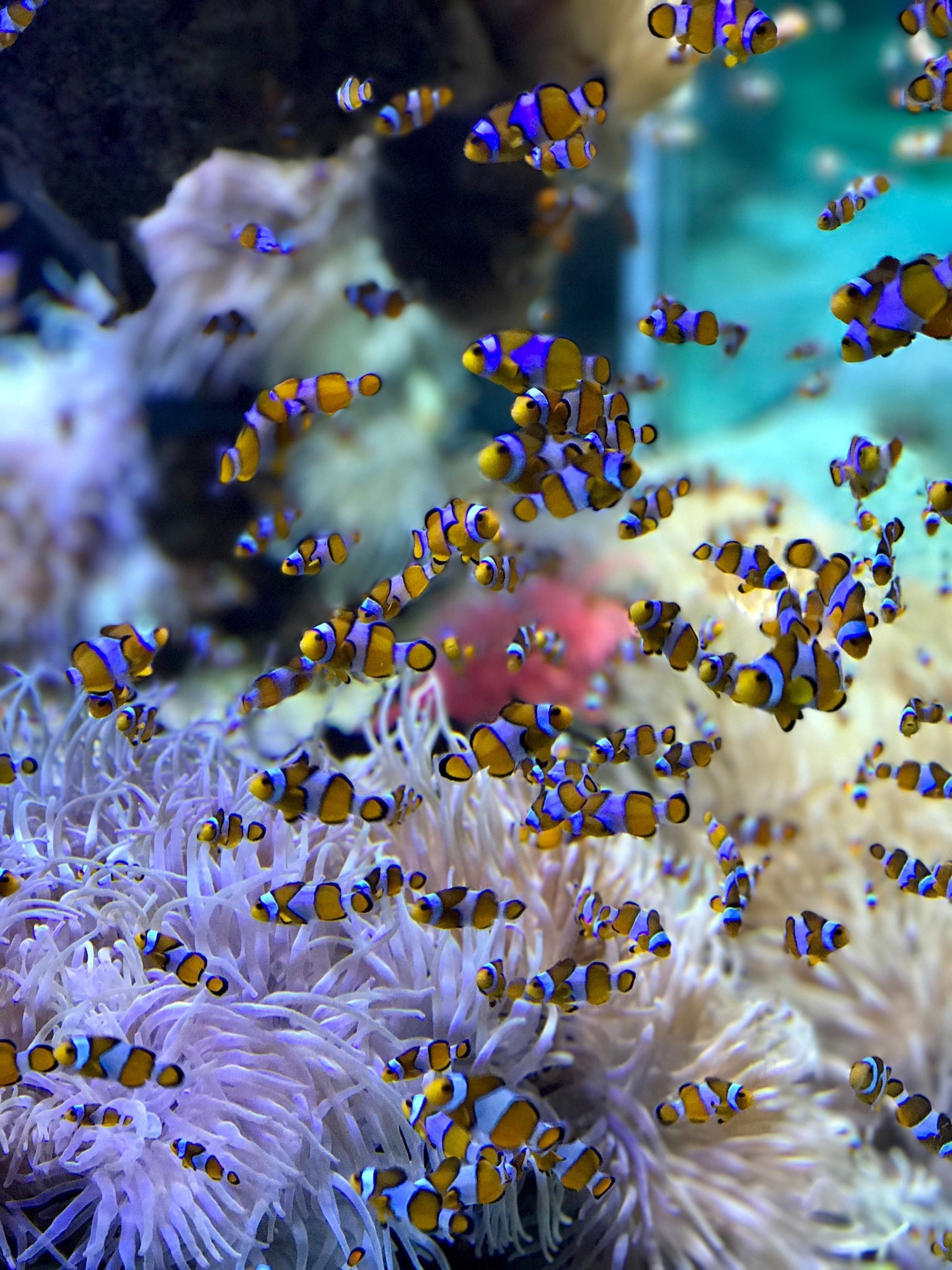 A school of clown fish with their symbiote, the sea anenome.