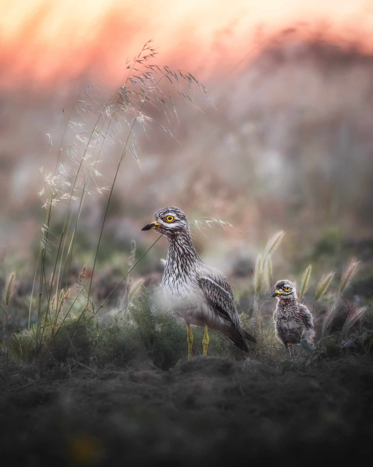 A close-up photo of stone curlews in Sardinia.