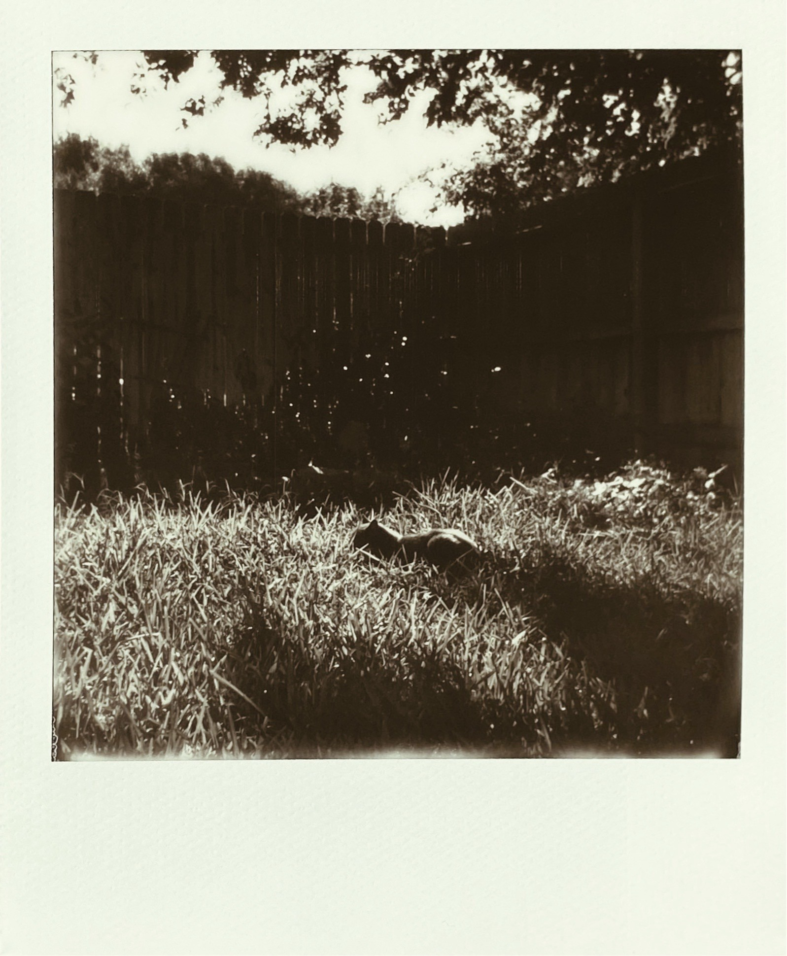 A Polaroid photograph of a cat laying in the grass in the morning, with a fence in the background. Deep shadows.