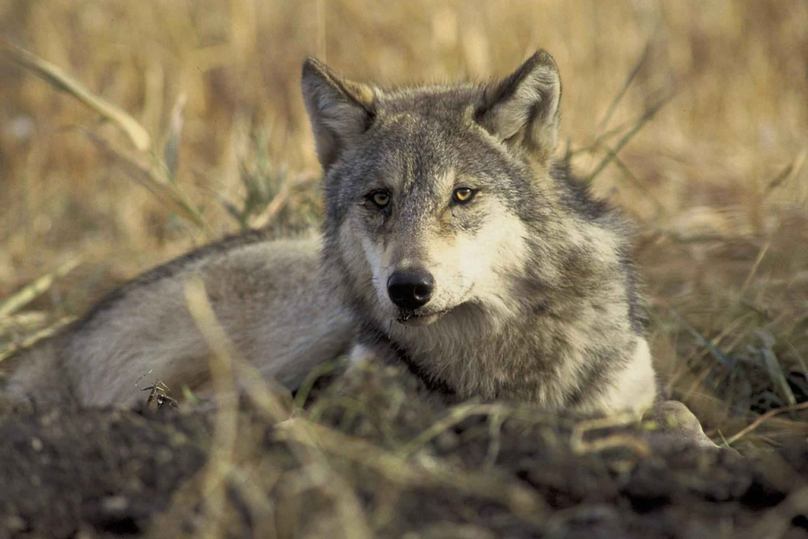 A gray wolf sits on the ground and looks at the viewer