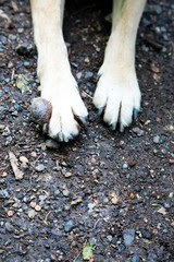 A fibrosarcoma between a dog's front toes on its paw