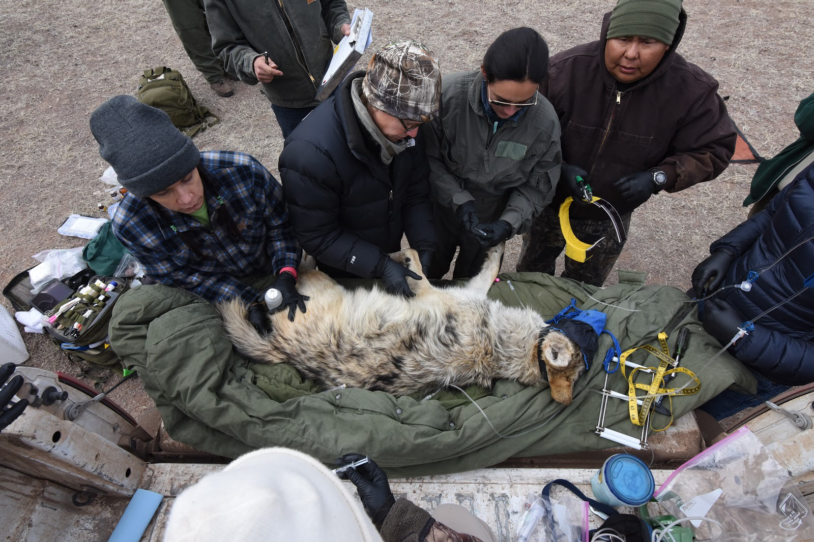 Four biologists and veterinarians work on a sedated wolf set on top of a blanket on a table outdoors.