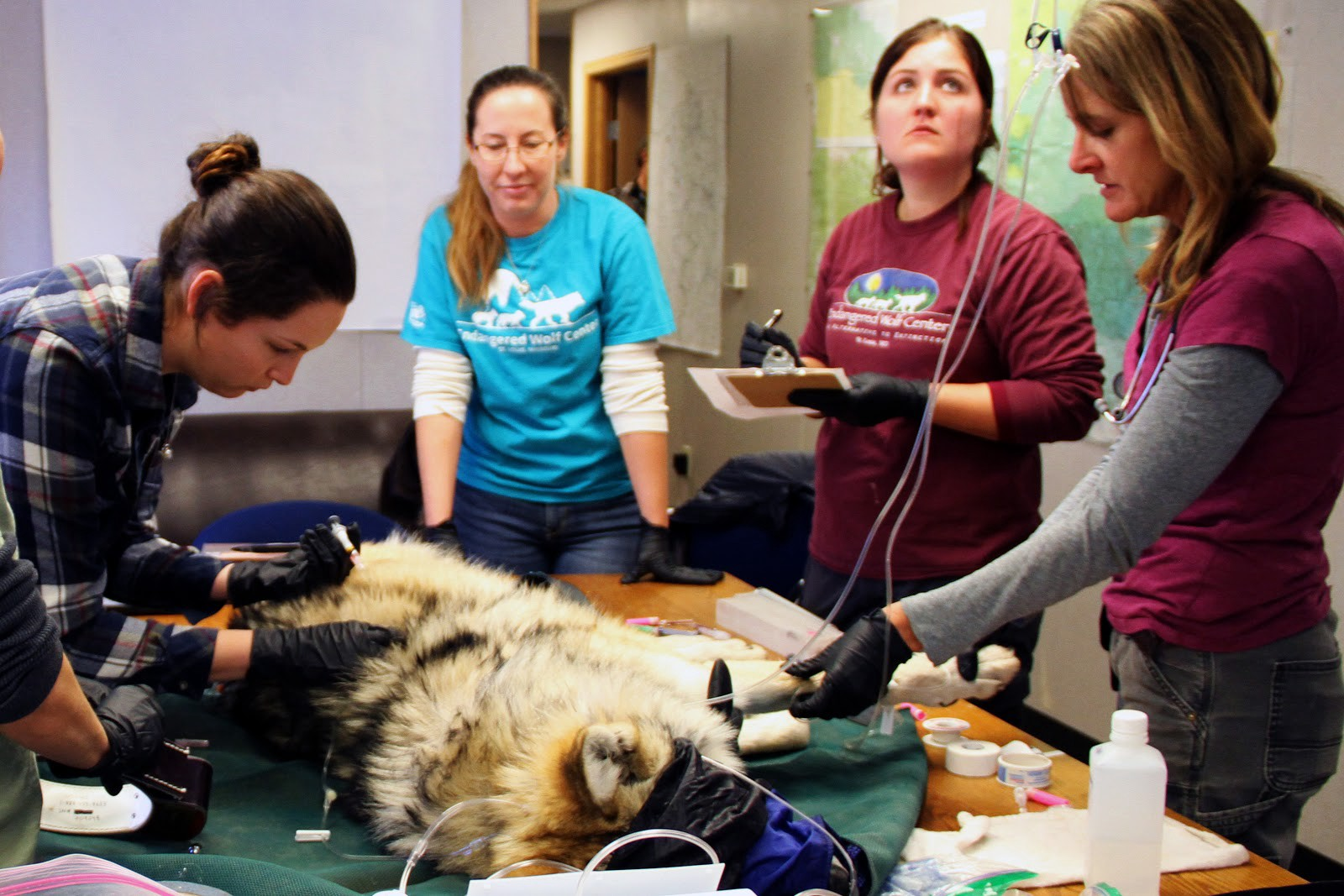 Four biologists and veterinarians work on a sedated wolf on a table, taking samples and measurements.