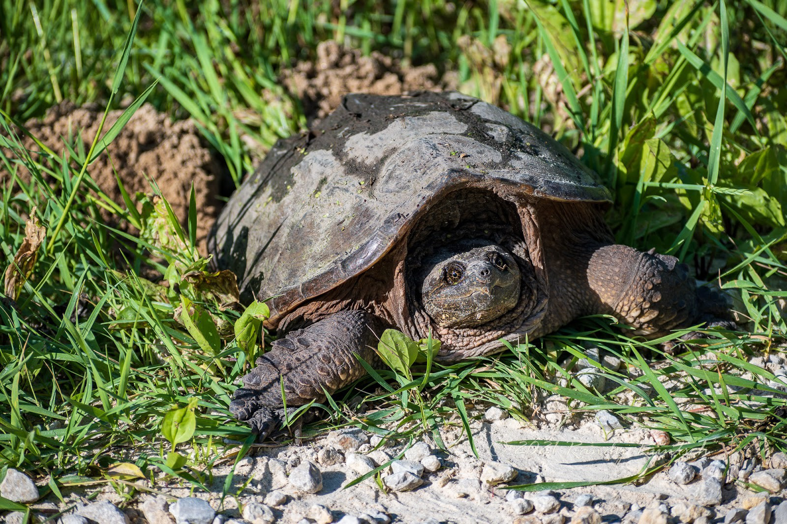A female common snapping turtle laying eggs. Photo by the author.