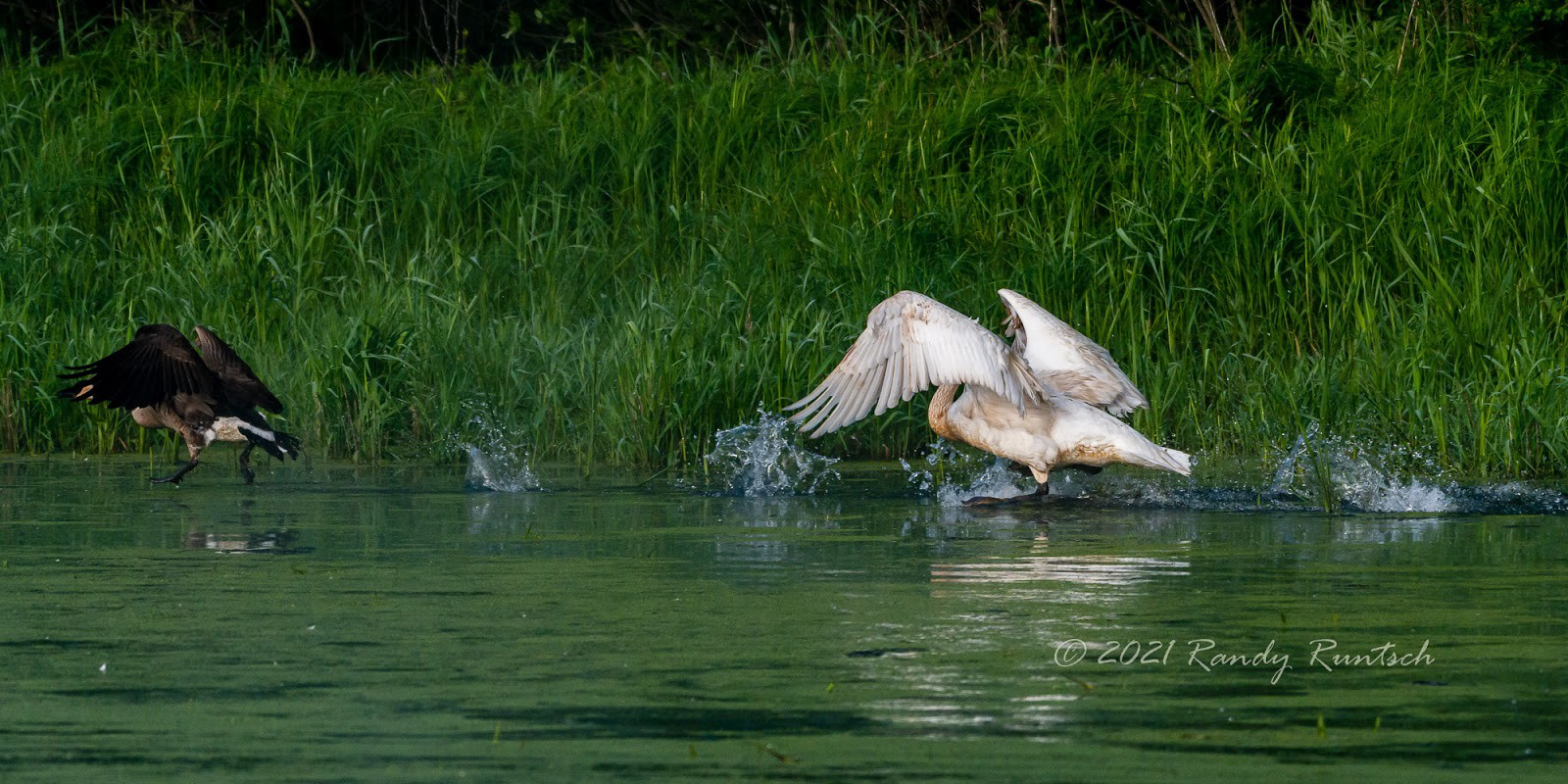 A trumpeter swan chases a Canada goose. Photo by the author.