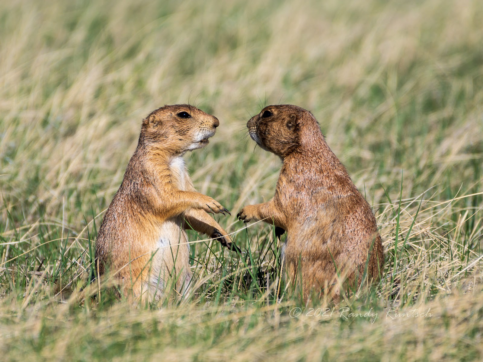 Could these prairie dogs be having a conversation? Photo by the author.