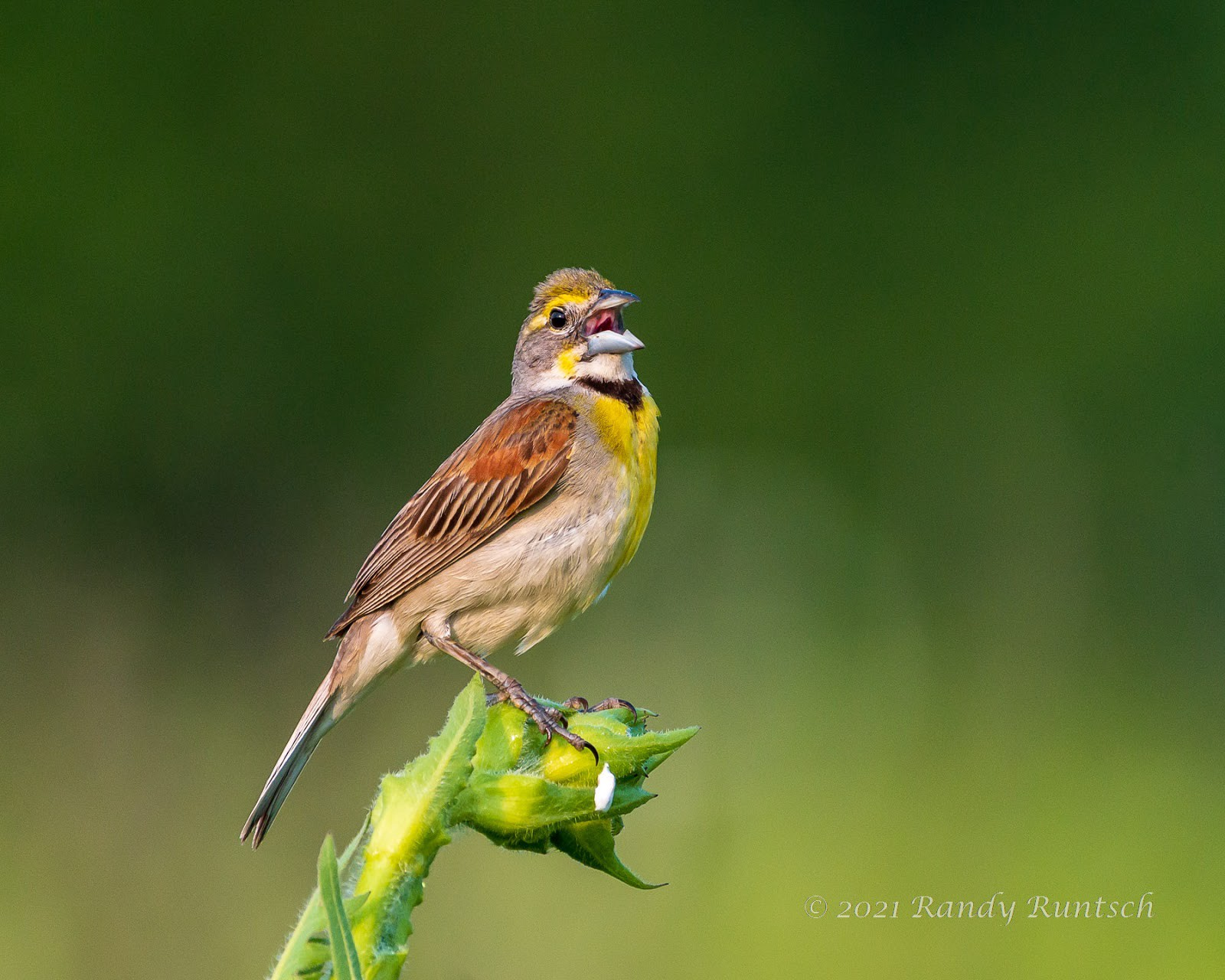 Male dickcissel. Photo by the author.
