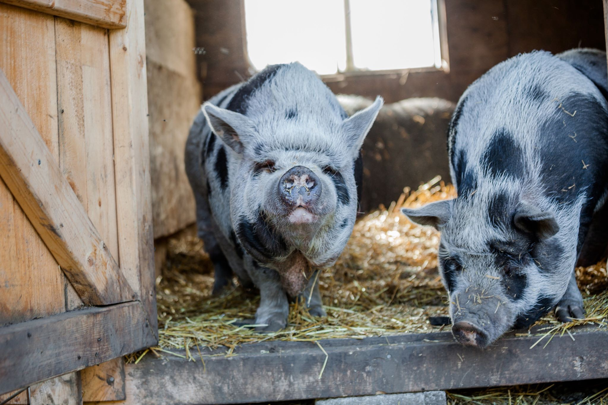 The Pot Bellied Pigs Saved From The Underground Meat Market By Jessica Scott Reid Tenderly