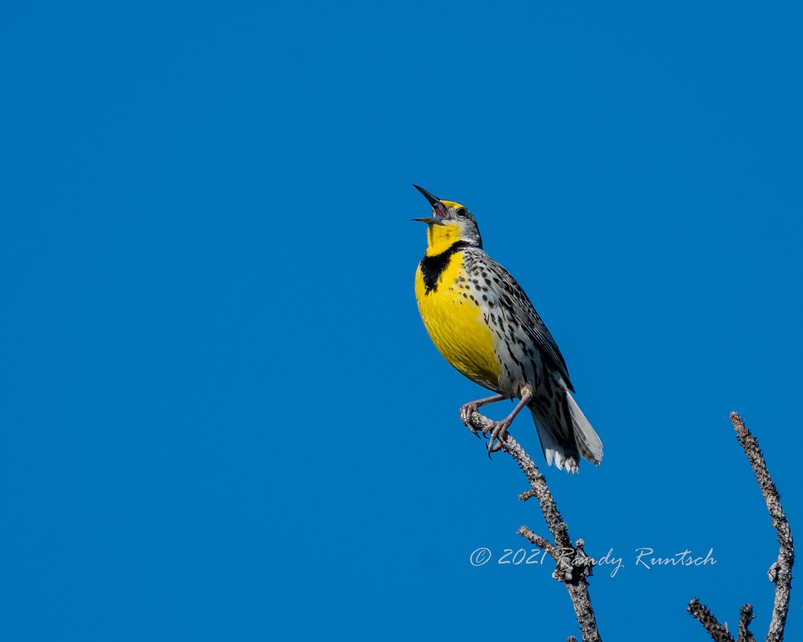 Western meadowlark. Photo by the author.