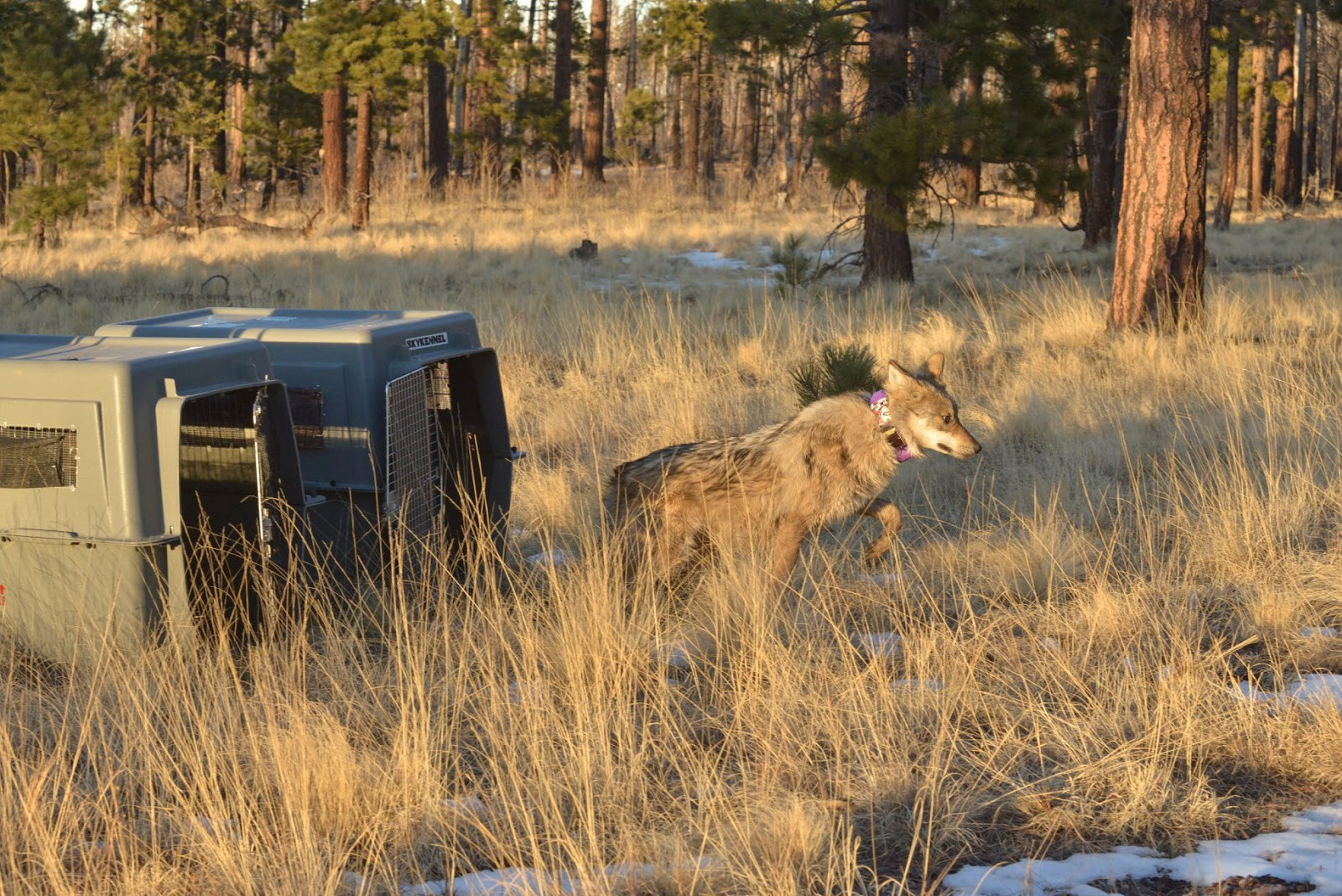A wolf with a purple radio collar runs out of a dark green crate during a release.