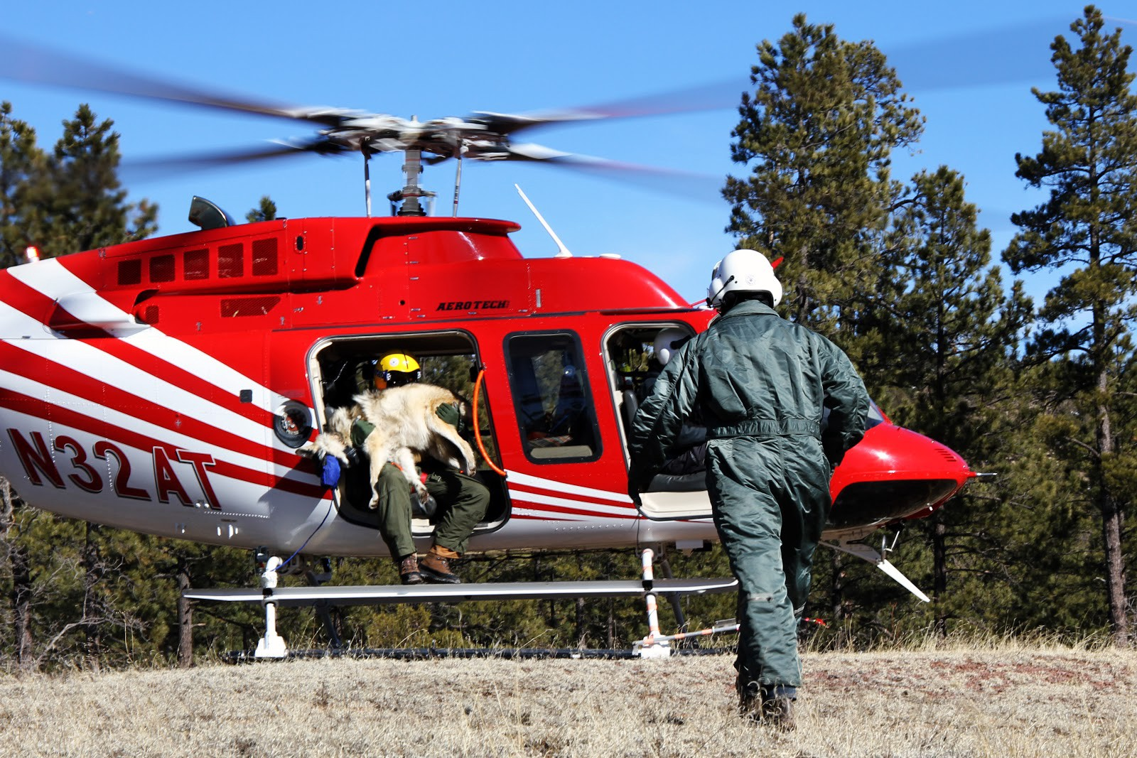 A team member walks toward a helicopter and another team member holding a sedated wolf.