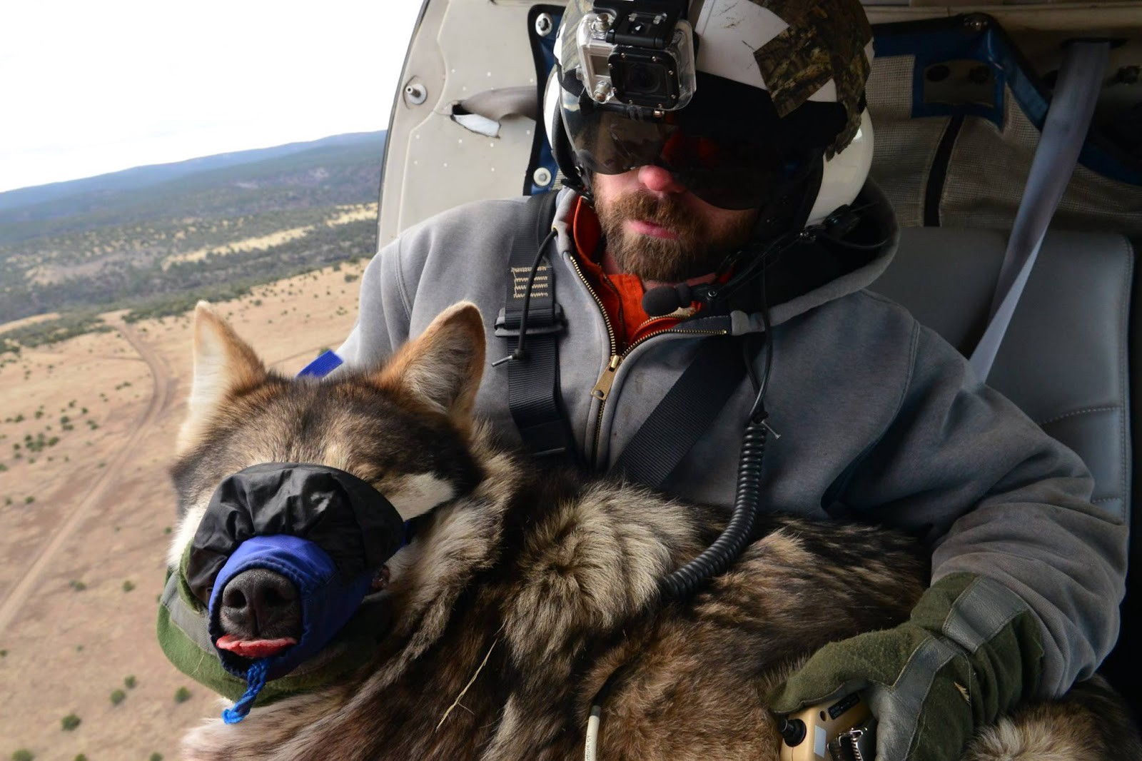 A member of the interagency team sits in a helicopter with a sedated wolf held in his lap.