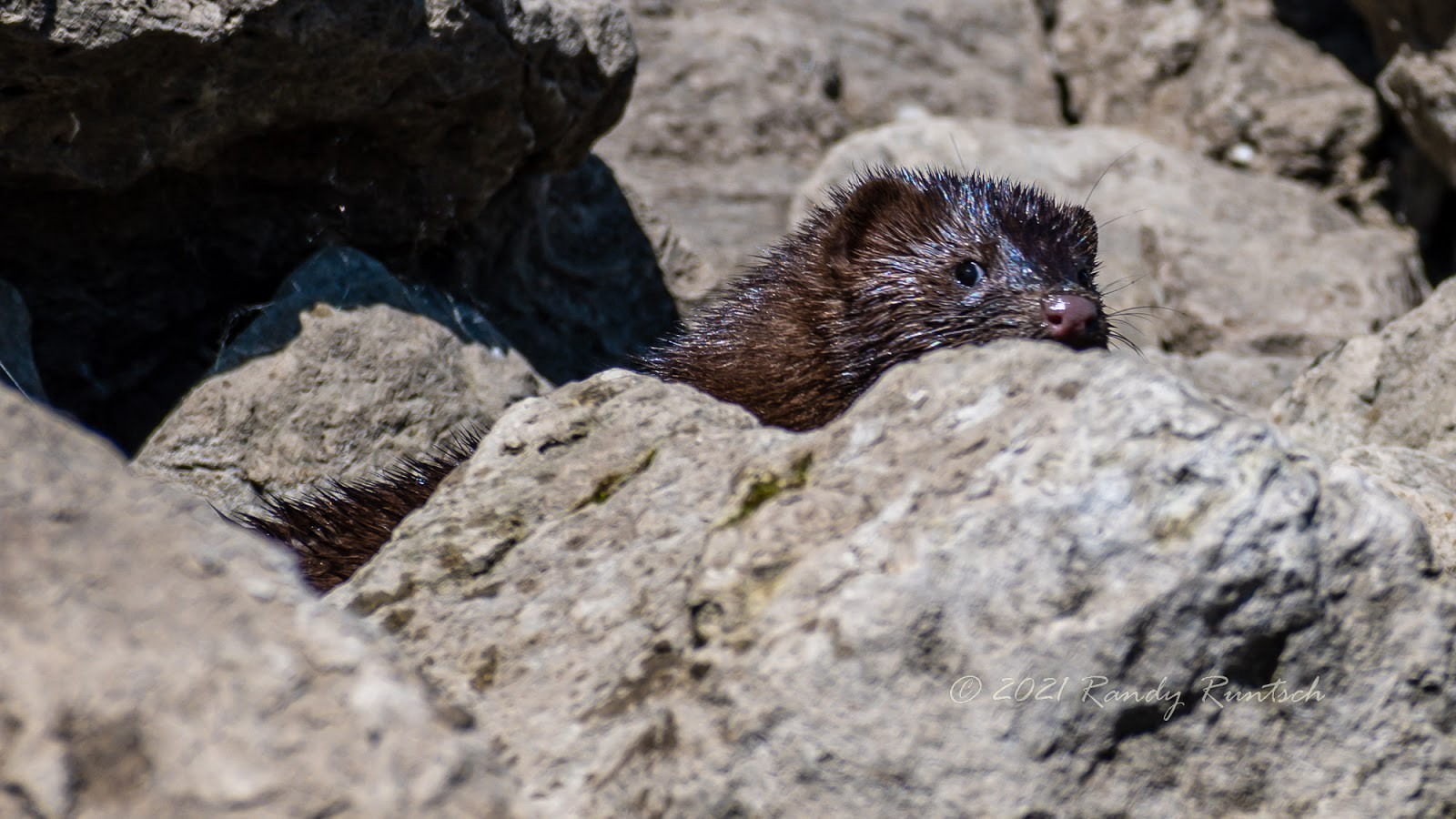 A mink peeks out from behind a rock. Photo by the author.