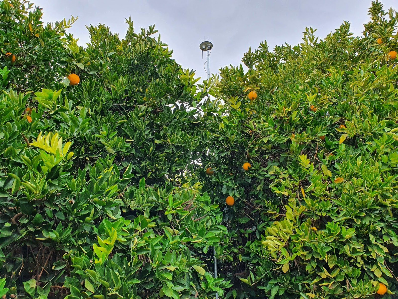 Arable Mark 2 seen from below, high above a canopy of citrus trees