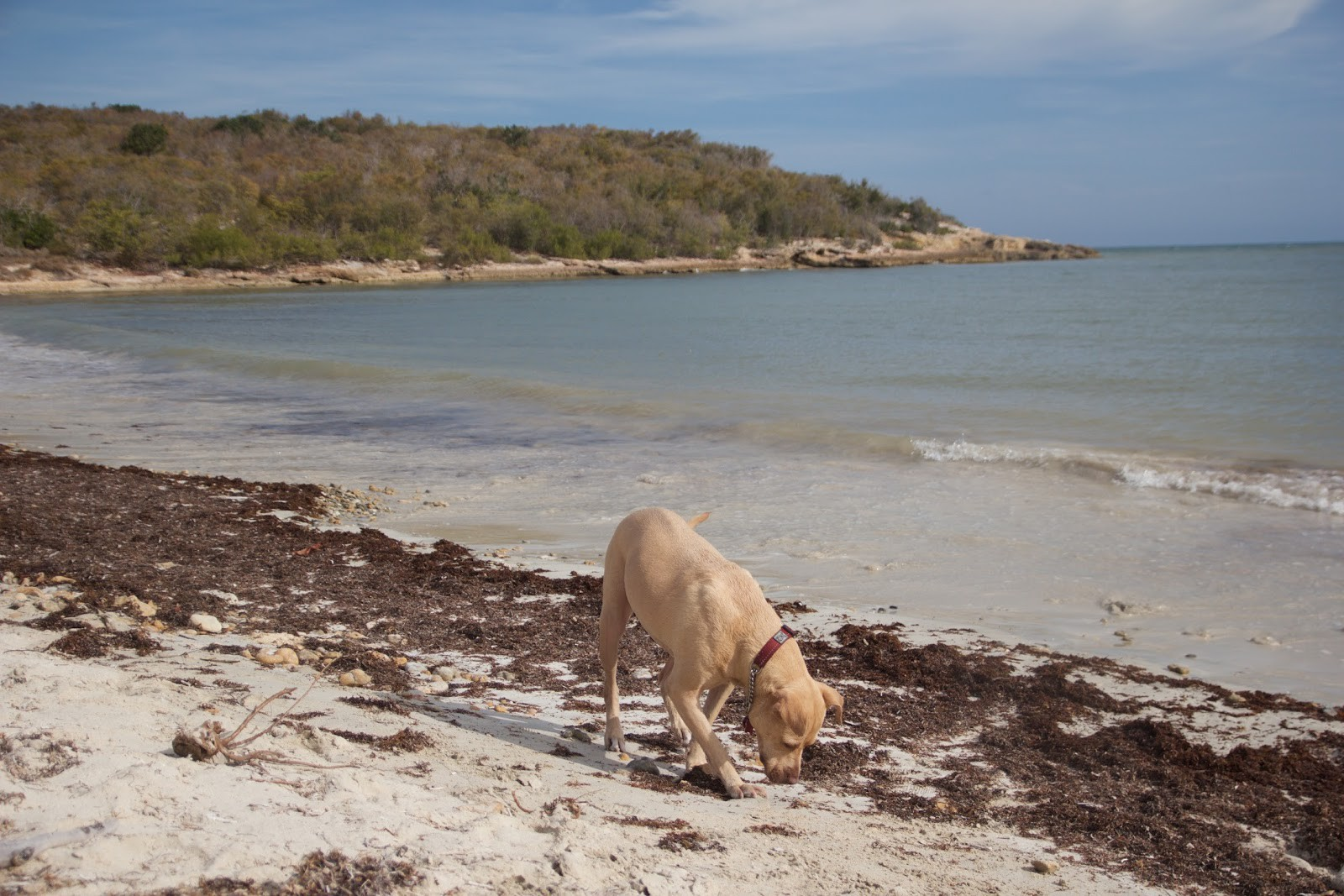 Georgia May sniffs at red algae that has washed up on the shore of the beach.