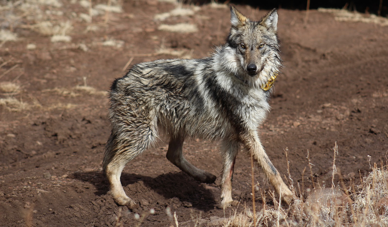 A wolf with a yellow radio collar looks at the photographer