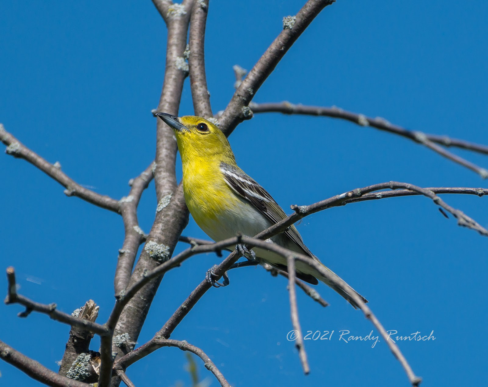 Yellow-throated vireo. Photo by the author.